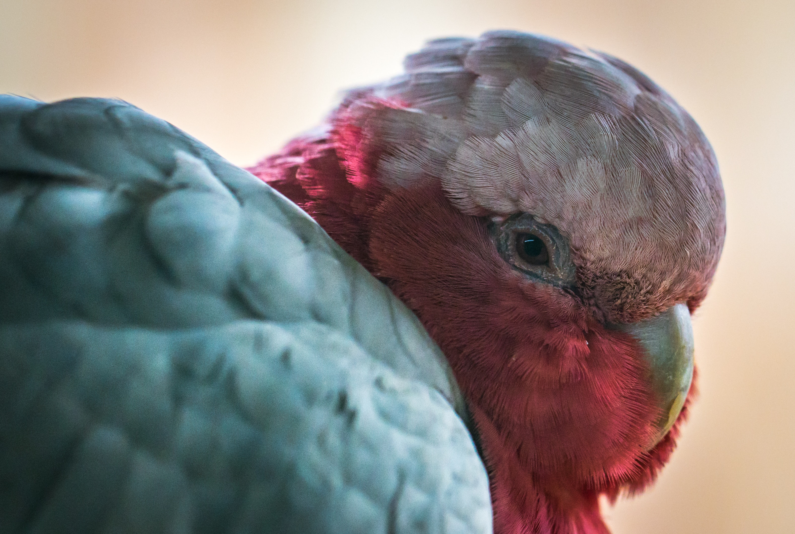 Galah Parrot, Animal, Face, Wild, Neck, HQ Photo