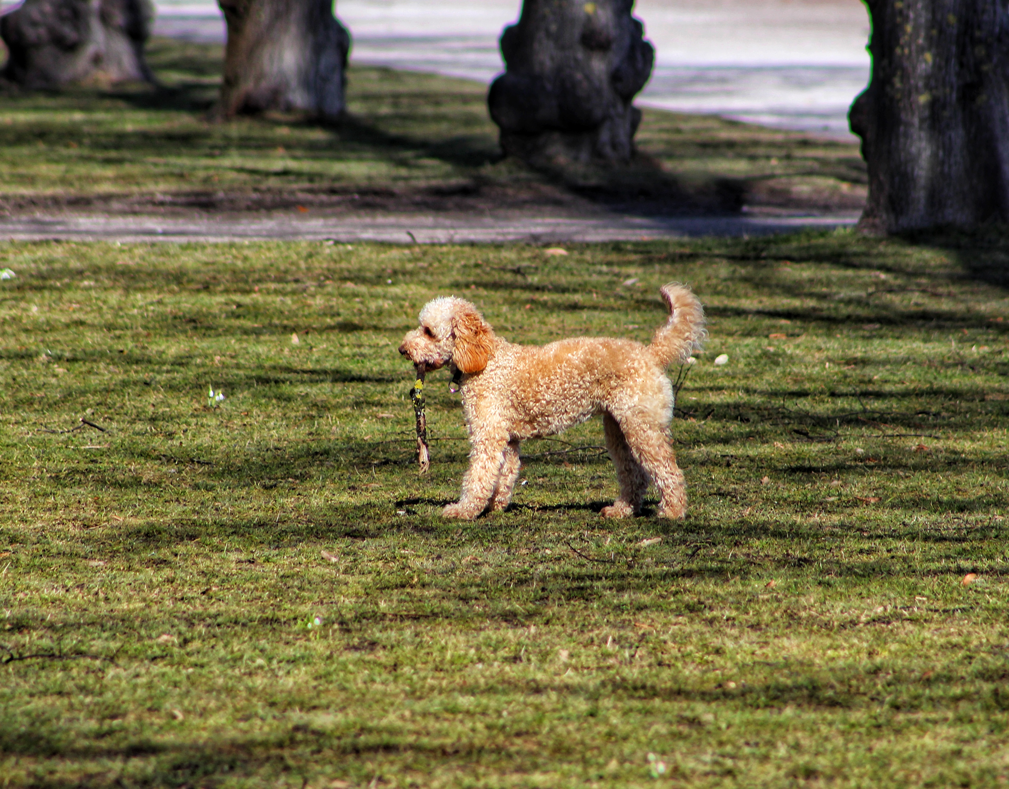 Game of stick, Animal, Breed, Dog, Doodle, HQ Photo