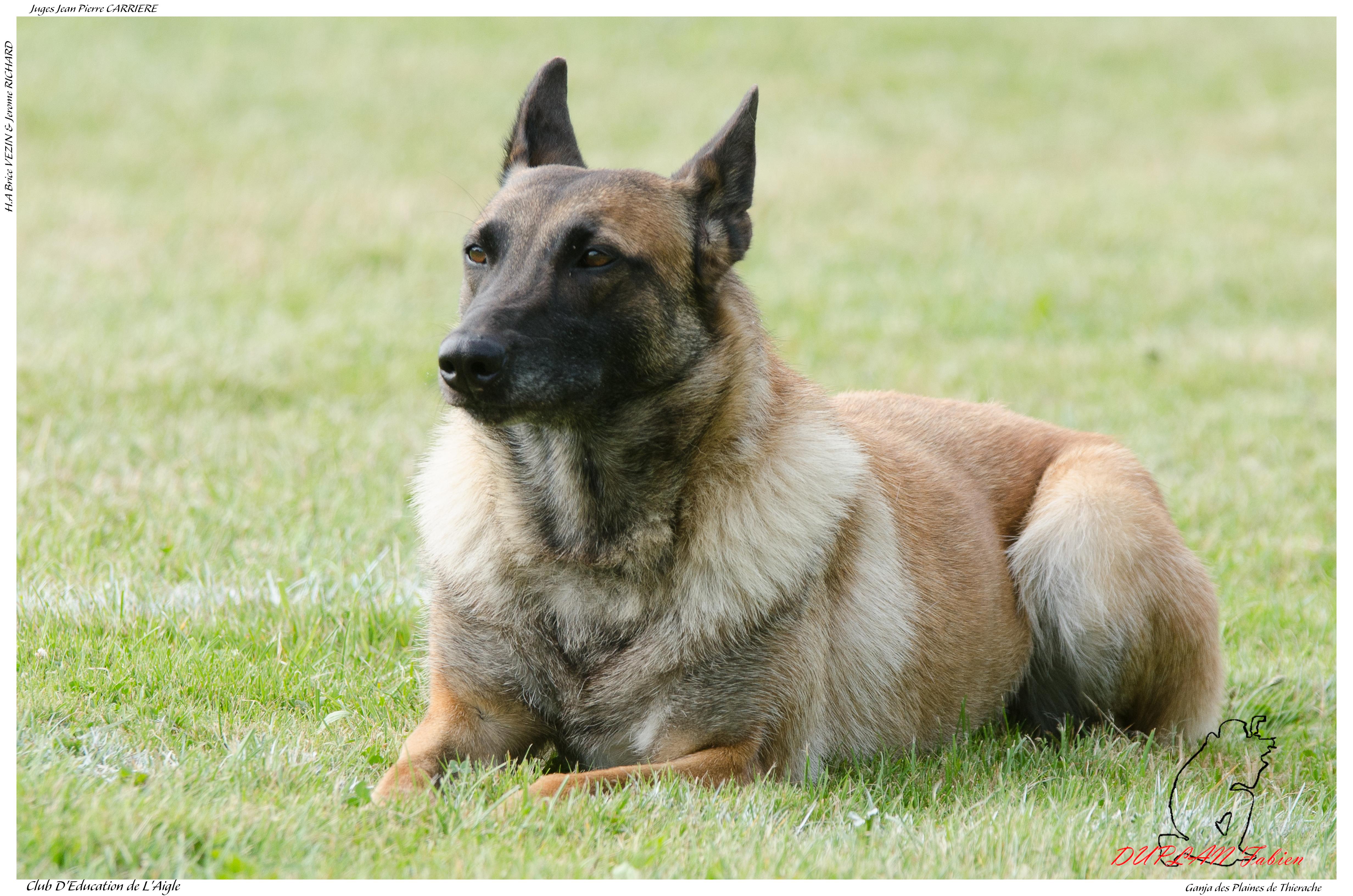Ganja des Plaines de Thierache Desamblanc Ph -3094, Animal, Dog, Outdoor, Pet, HQ Photo