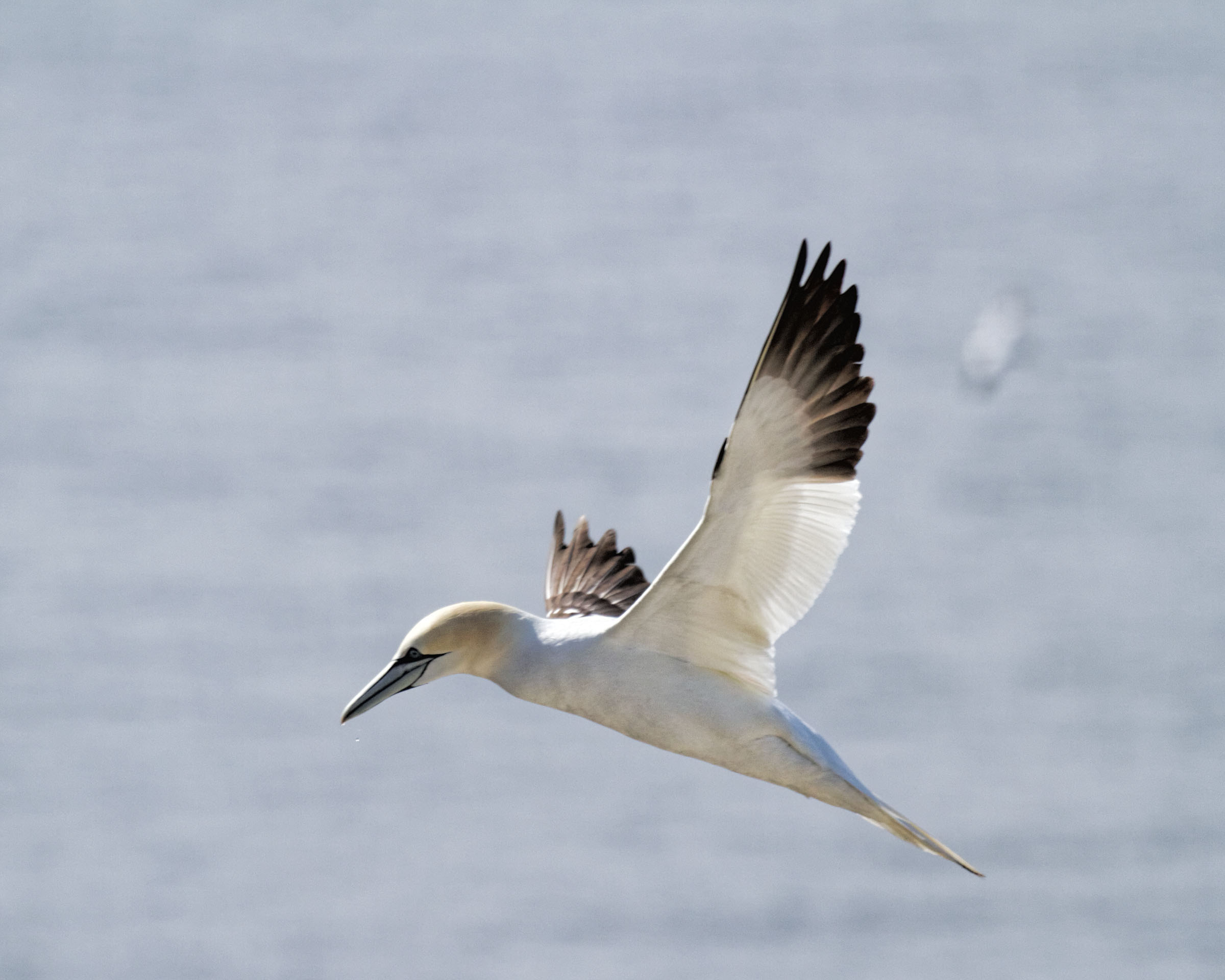 Gannet photo