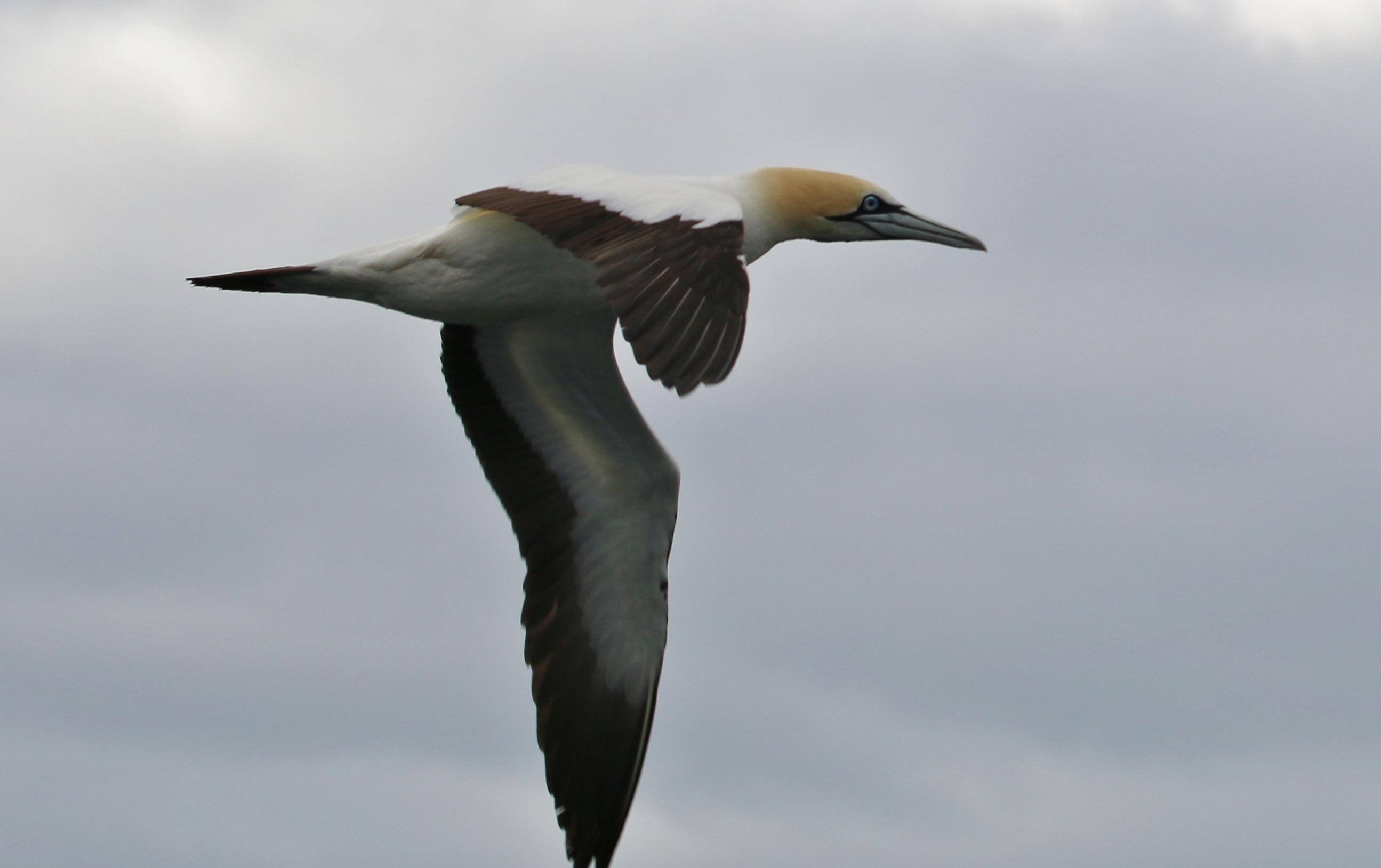 Cape gannet | New Zealand Birds Online