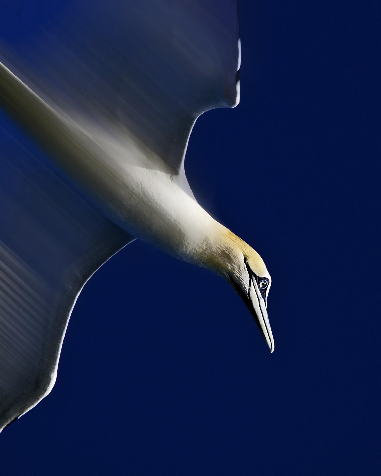 Diving Gannet. - Pentax User Photo Gallery