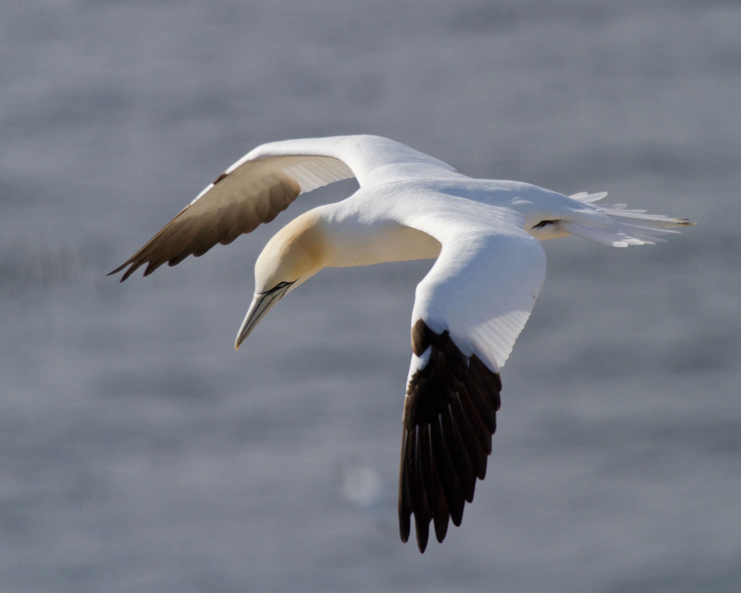 Gannet, Animal, Plumage, Mating, Morus, HQ Photo