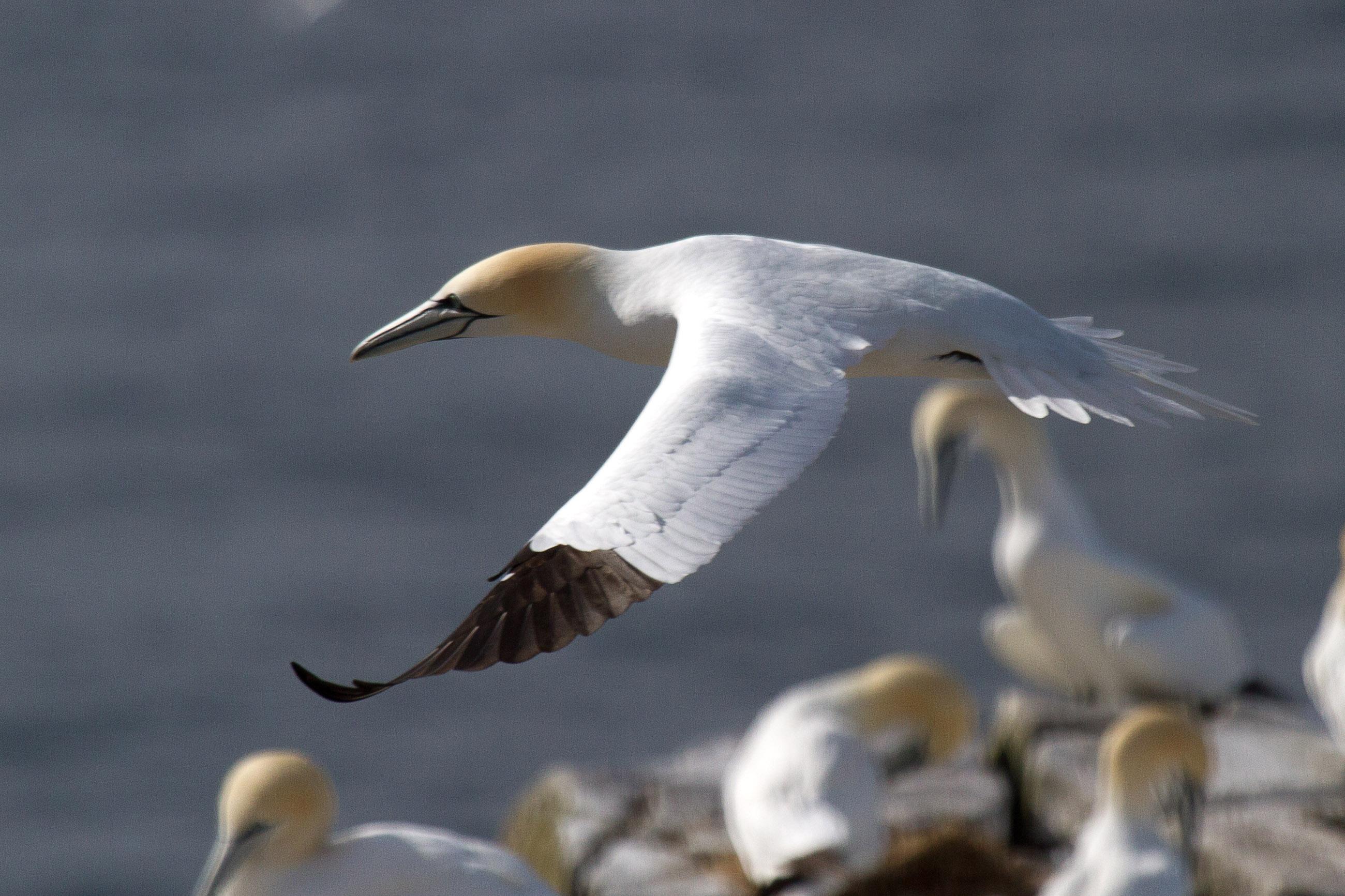Gannet, Animal, Plumage, Mating, Morus, HQ Photo