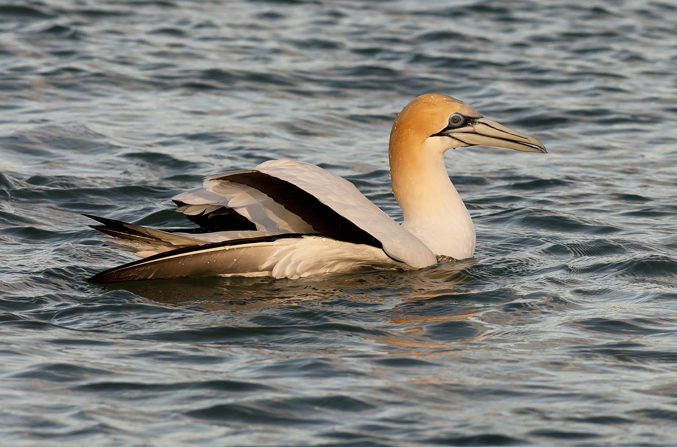 Australasian gannet   New Zealand Birds Online
