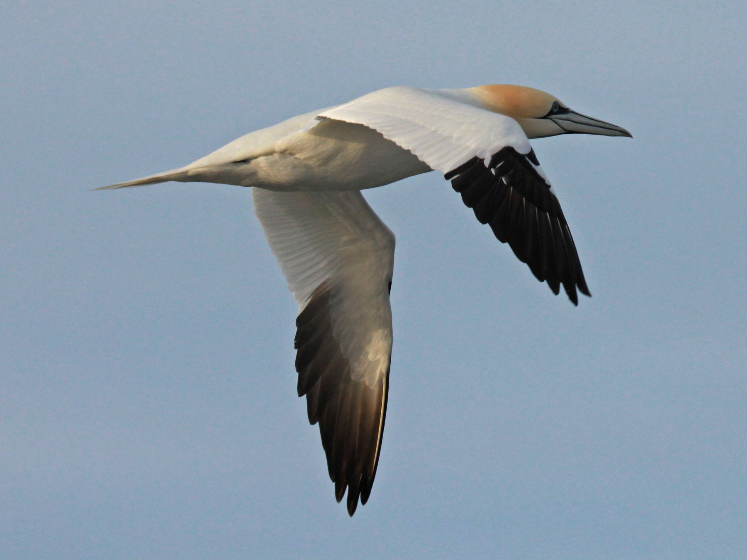 Birds of The World: BOOBIES and GANNETS