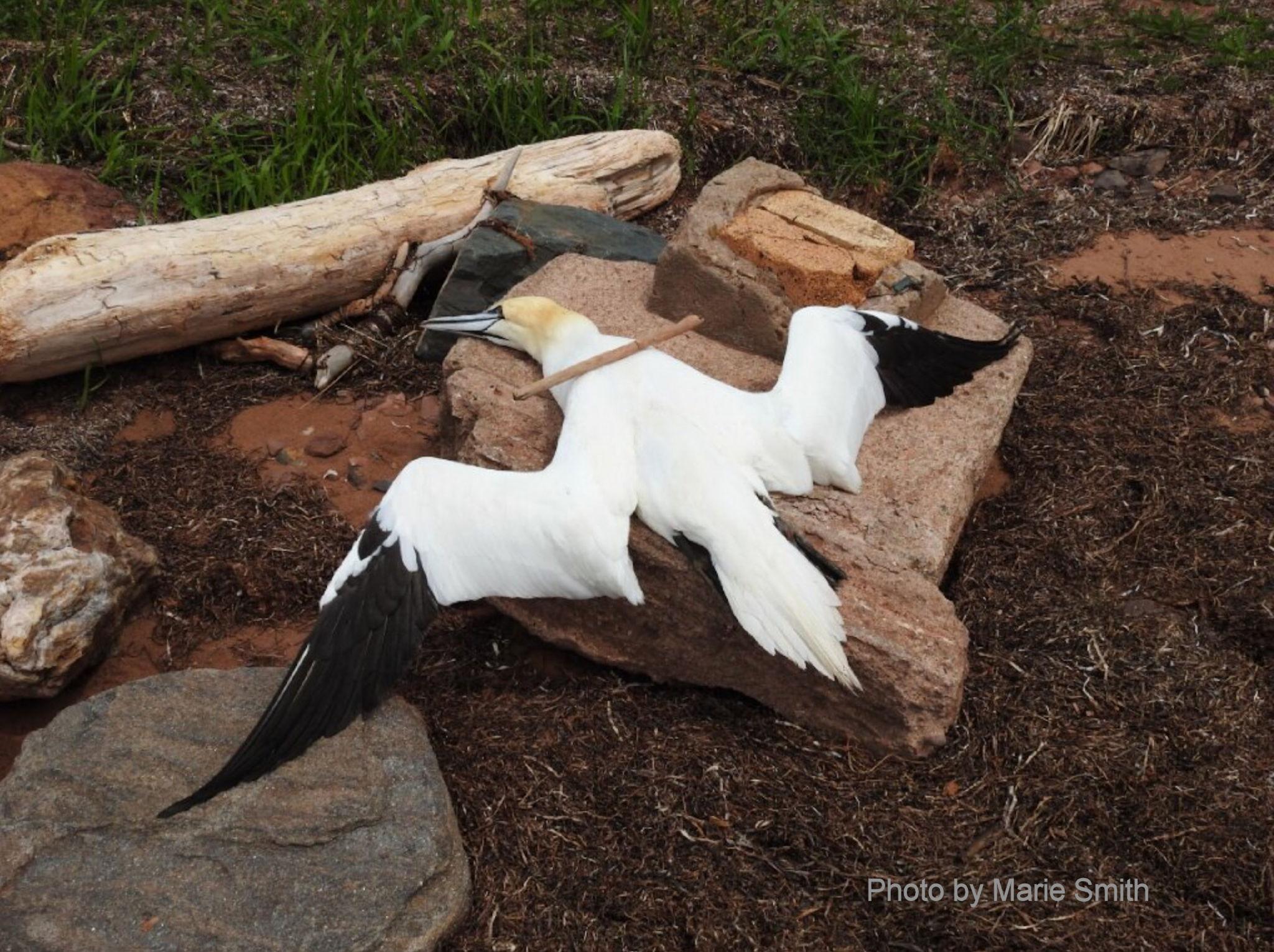 NORTHERN GANNET   All the Birds of Prince Edward Island