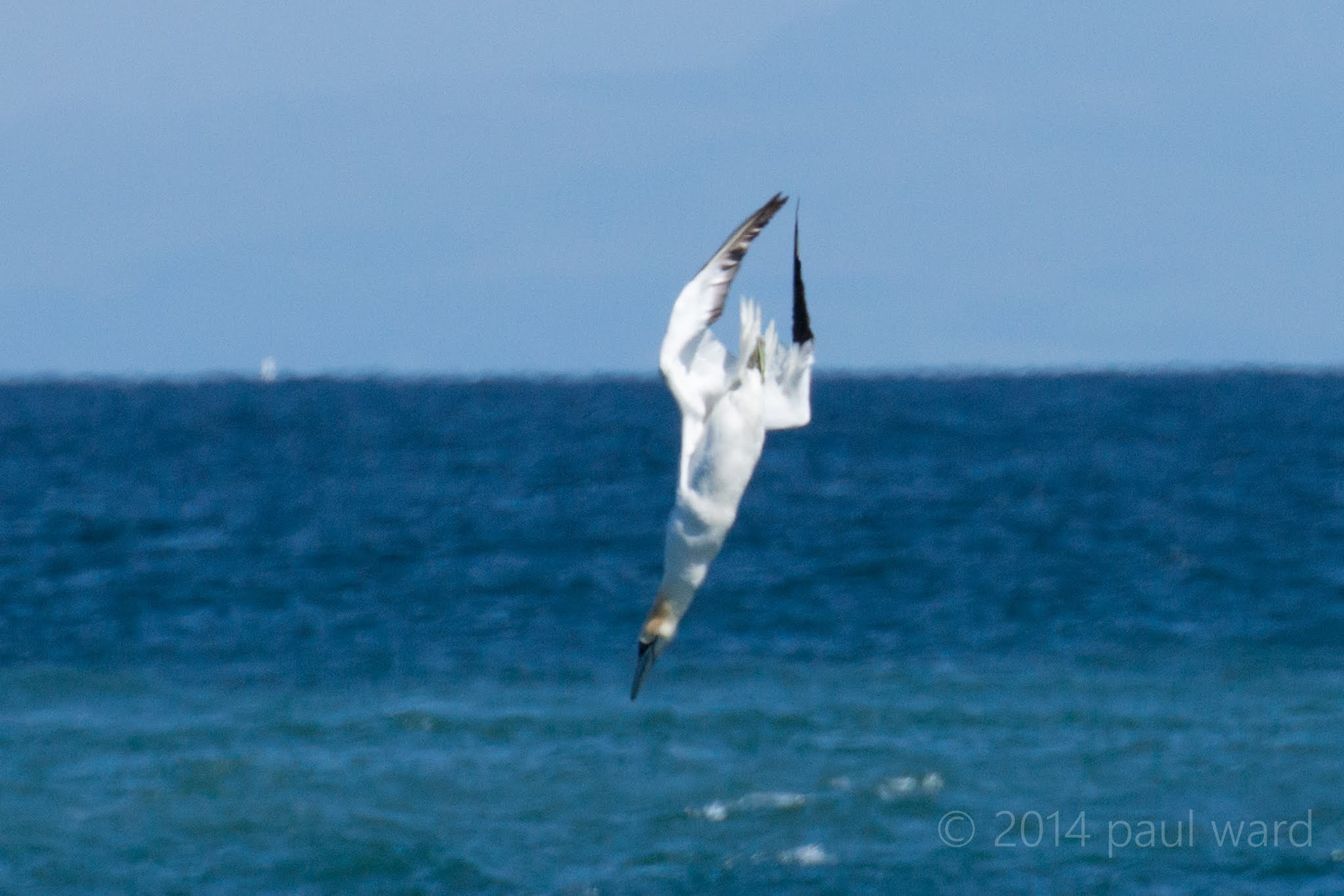 Trying to catch a gannet diving (badly) - YouTube