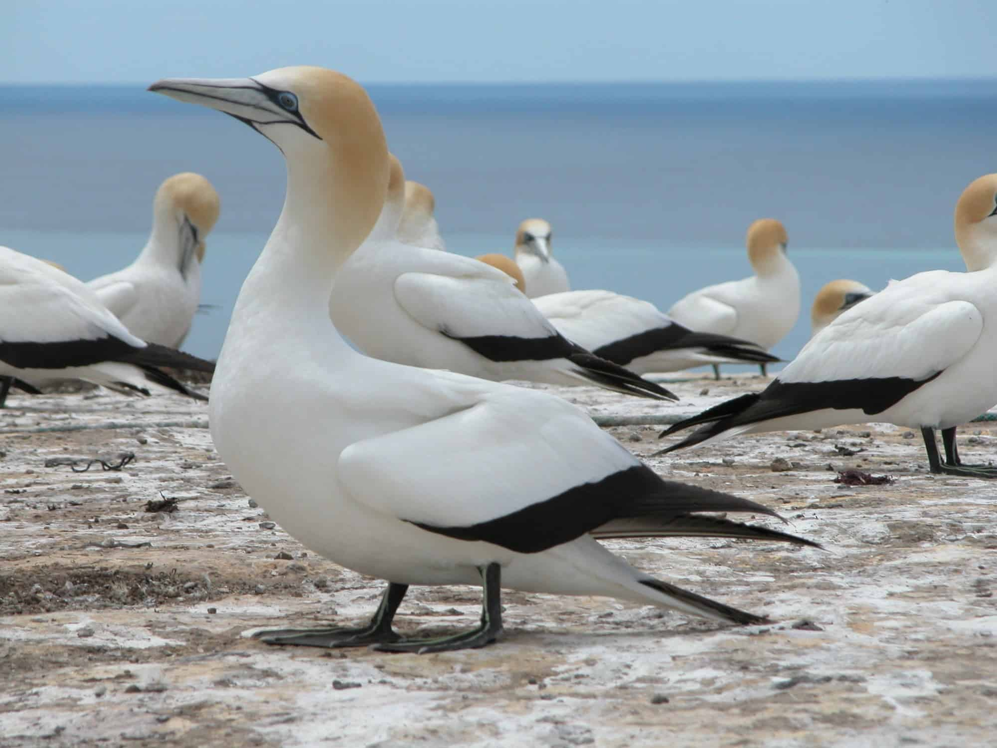 Cape Kidnappers - Gannet colony - Young Adventuress