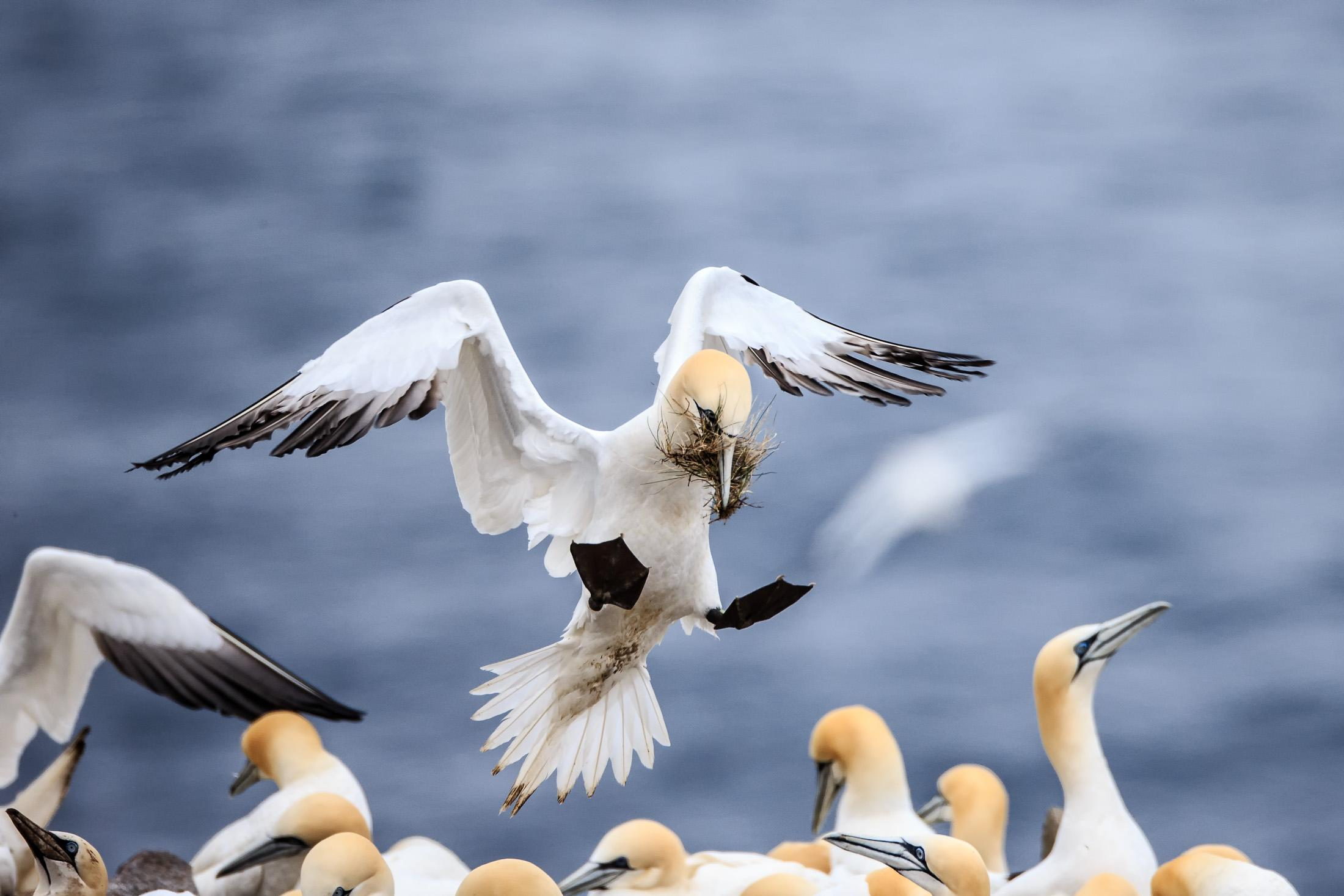 Nesting Colony of Northern Gannets - Cape St. Mary's, Newfoundland ...