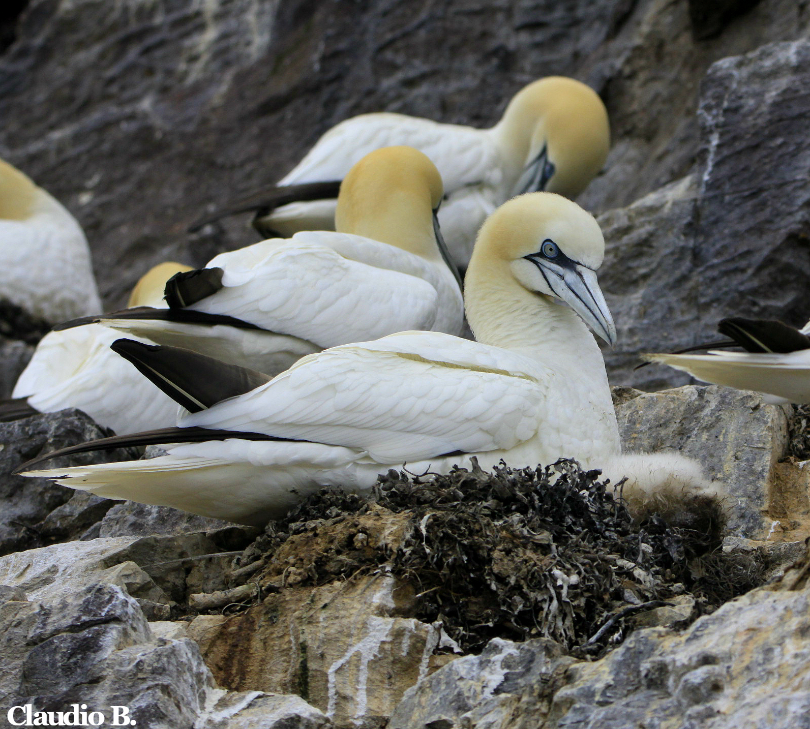 Bass Rock, the largest gannet colony in the world | Natural World