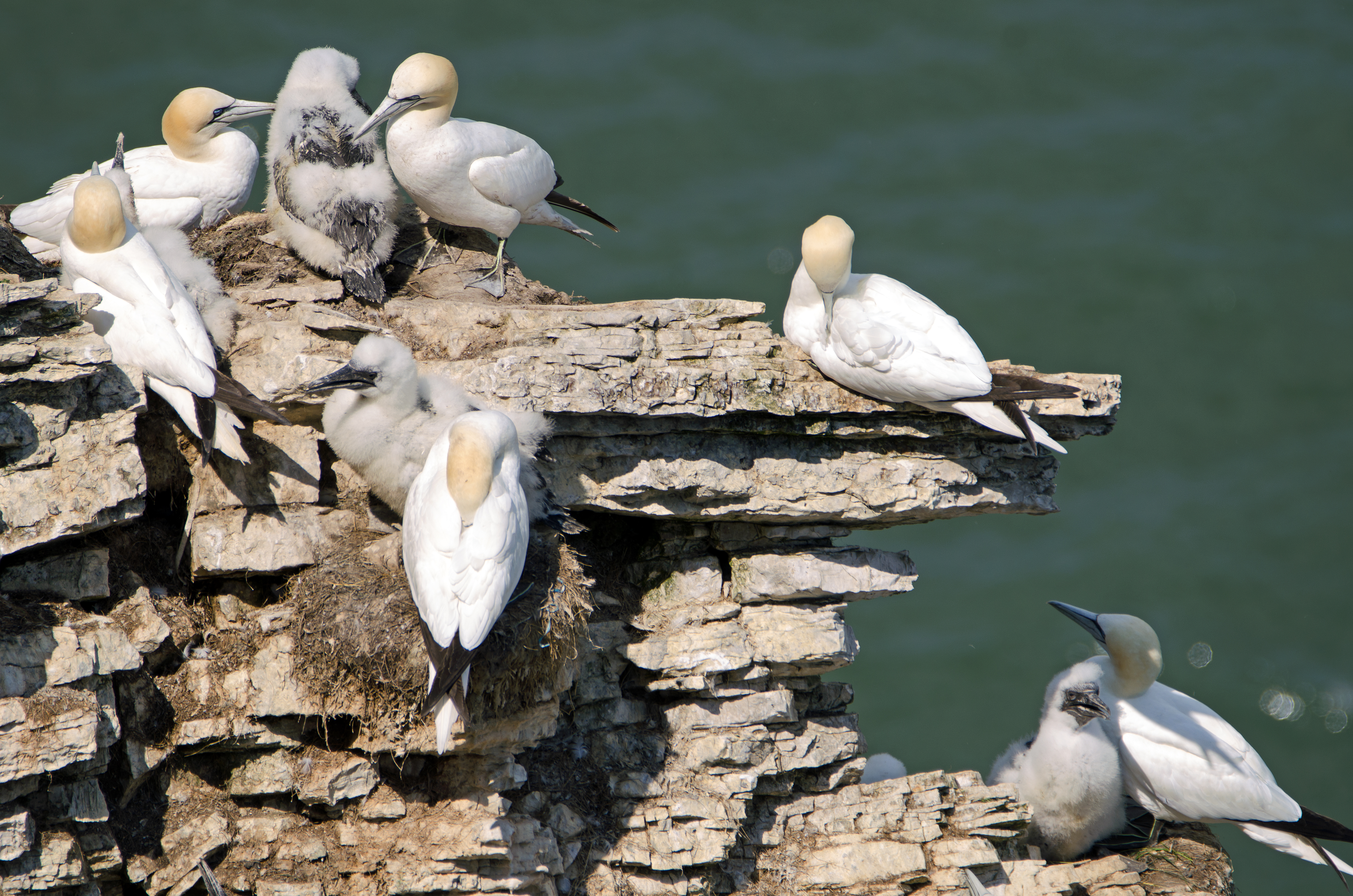 Northern Gannets at Bempton cliffs – Ray Cannon's nature notes