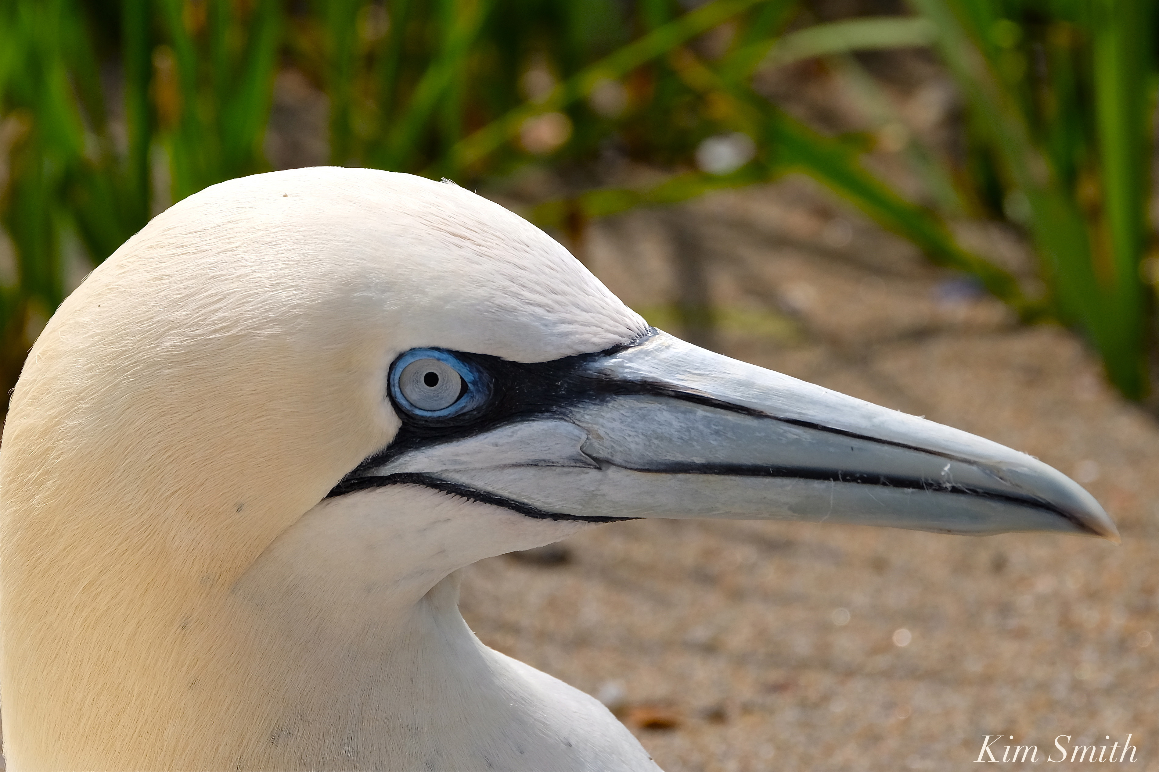 NORTHERN GANNET MYSTERIOUS DIESEASE STRIKES AGAIN ...