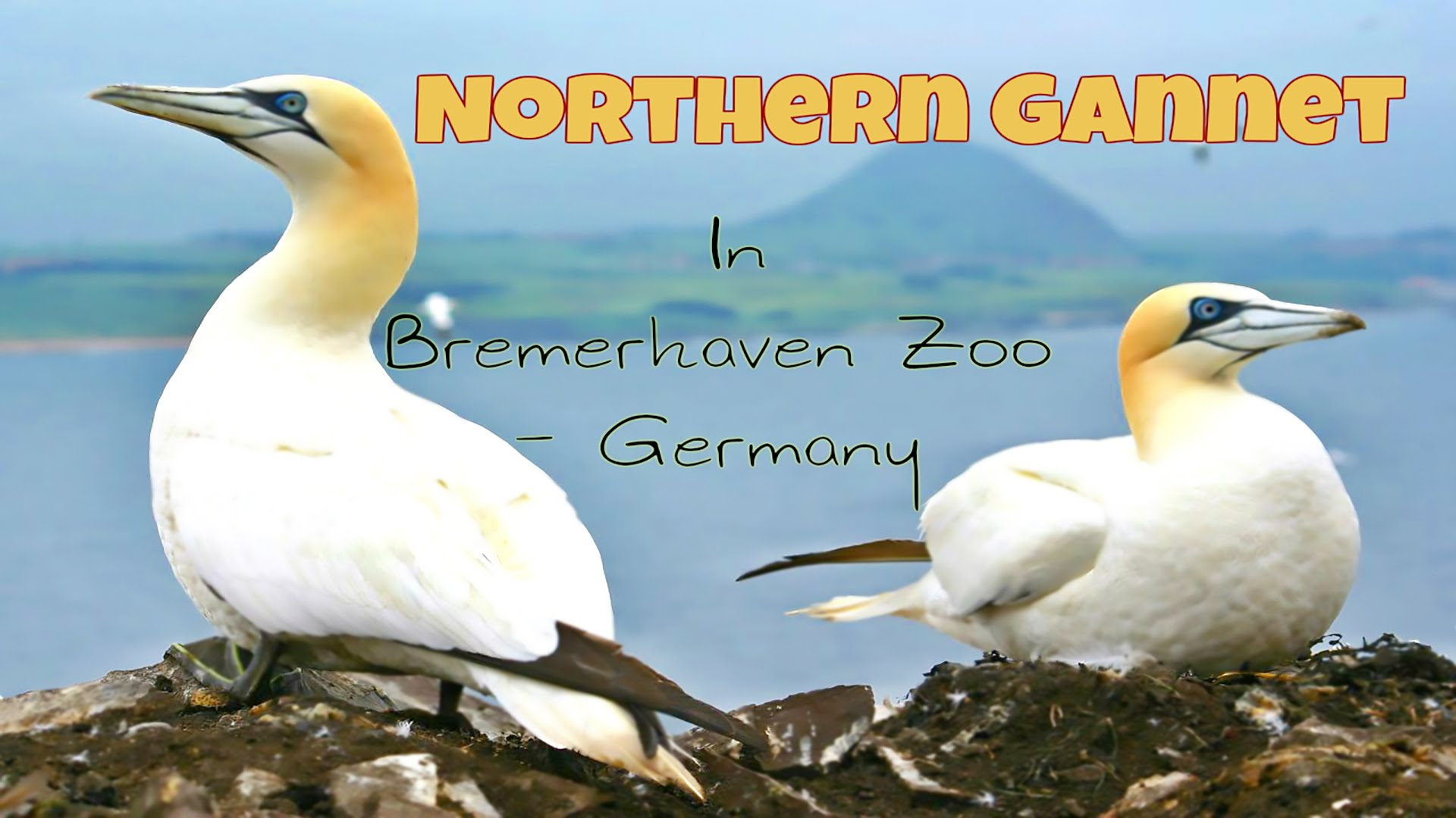 Northern Gannet In Bremerhaven Zoo - Germany - YouTube