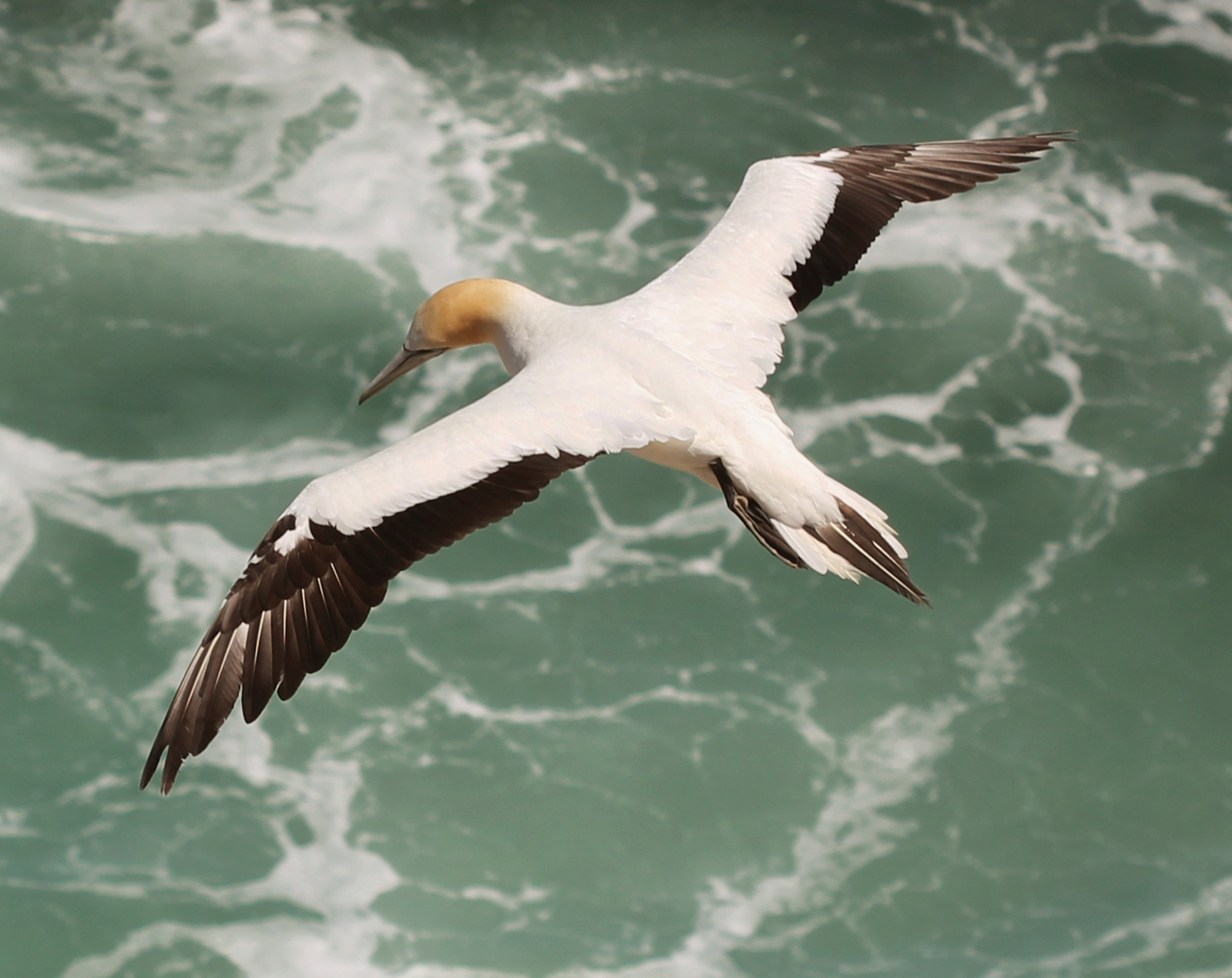 File:Australasian Gannet (Morus serrator) in flight, from above.jpg ...
