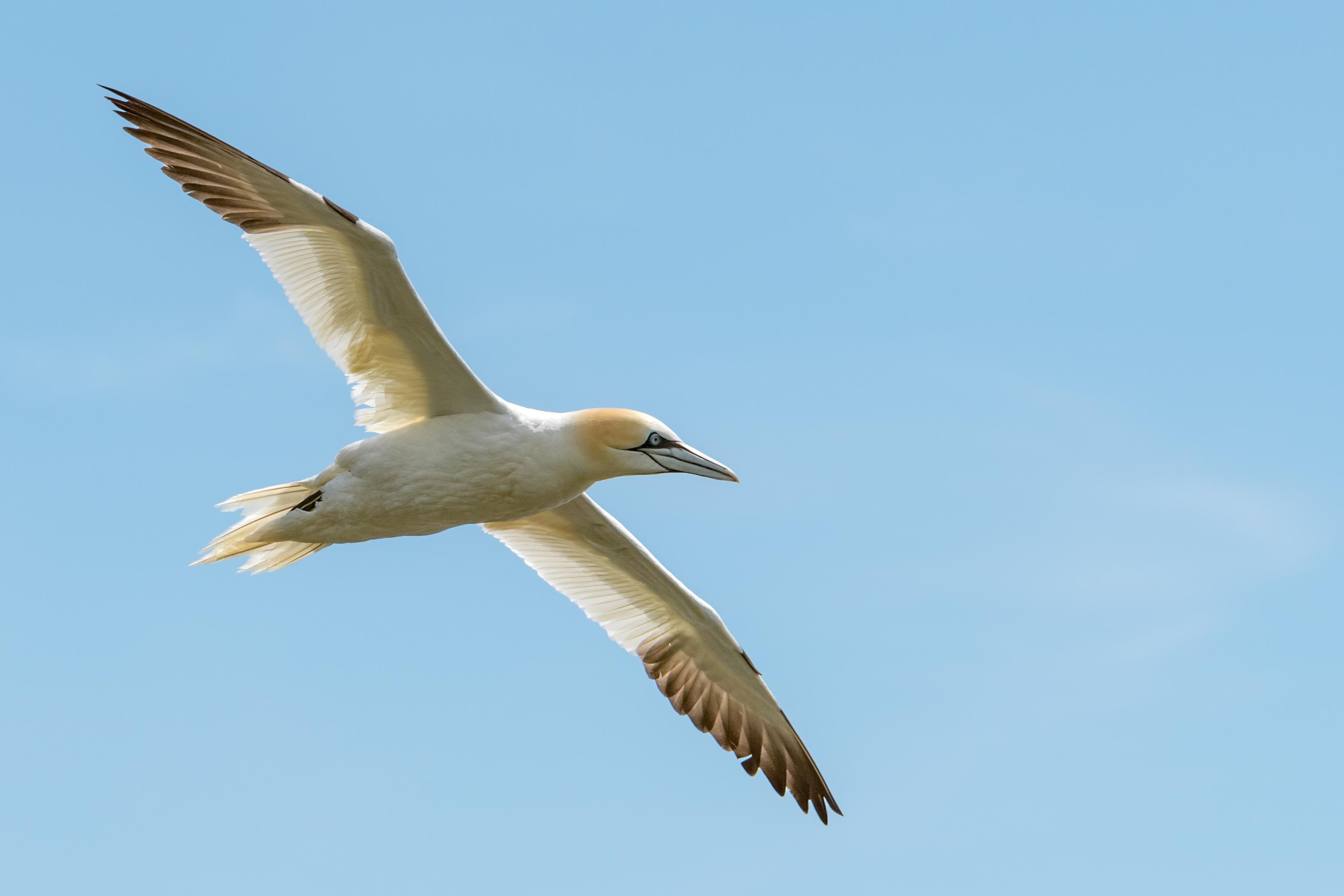 Flying Northern Gannet