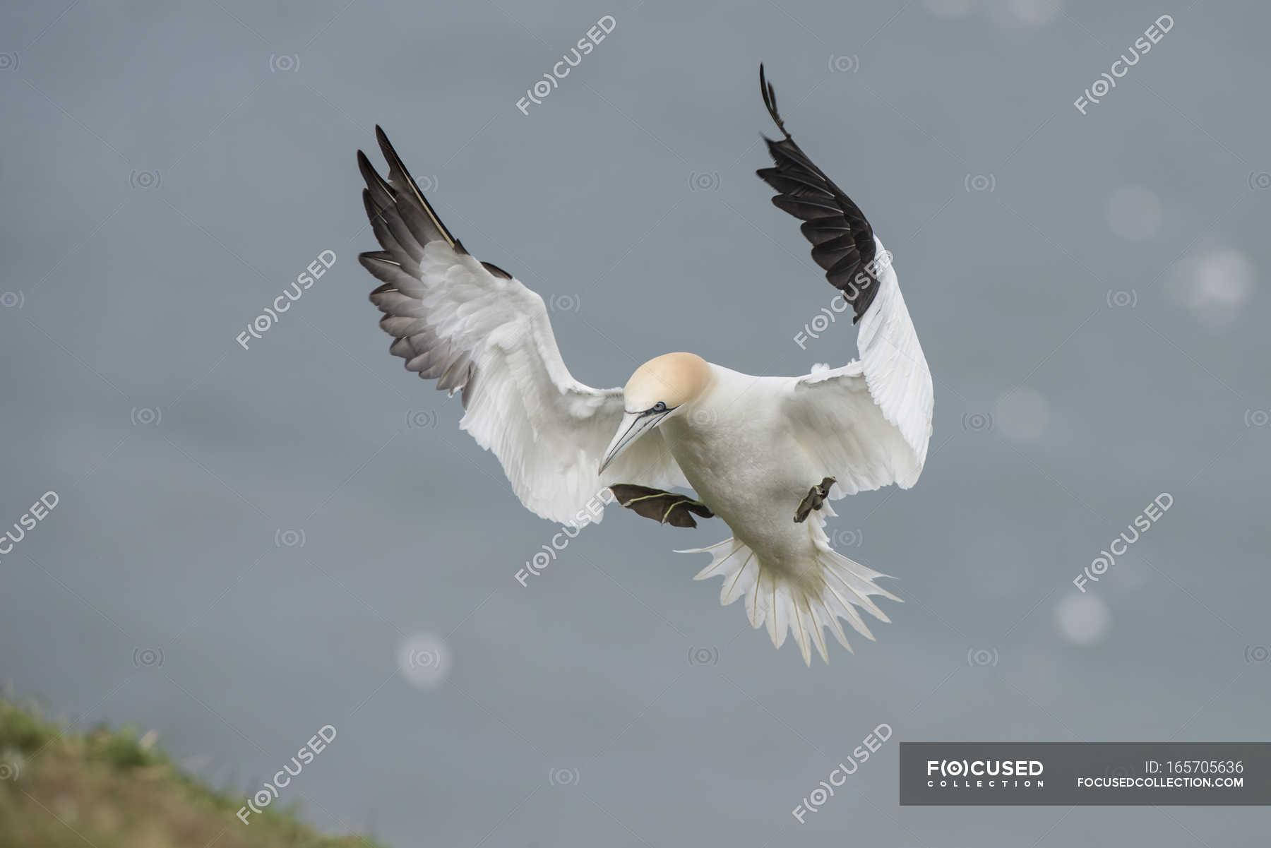 Flying northern gannet — Stock Photo   #165705636