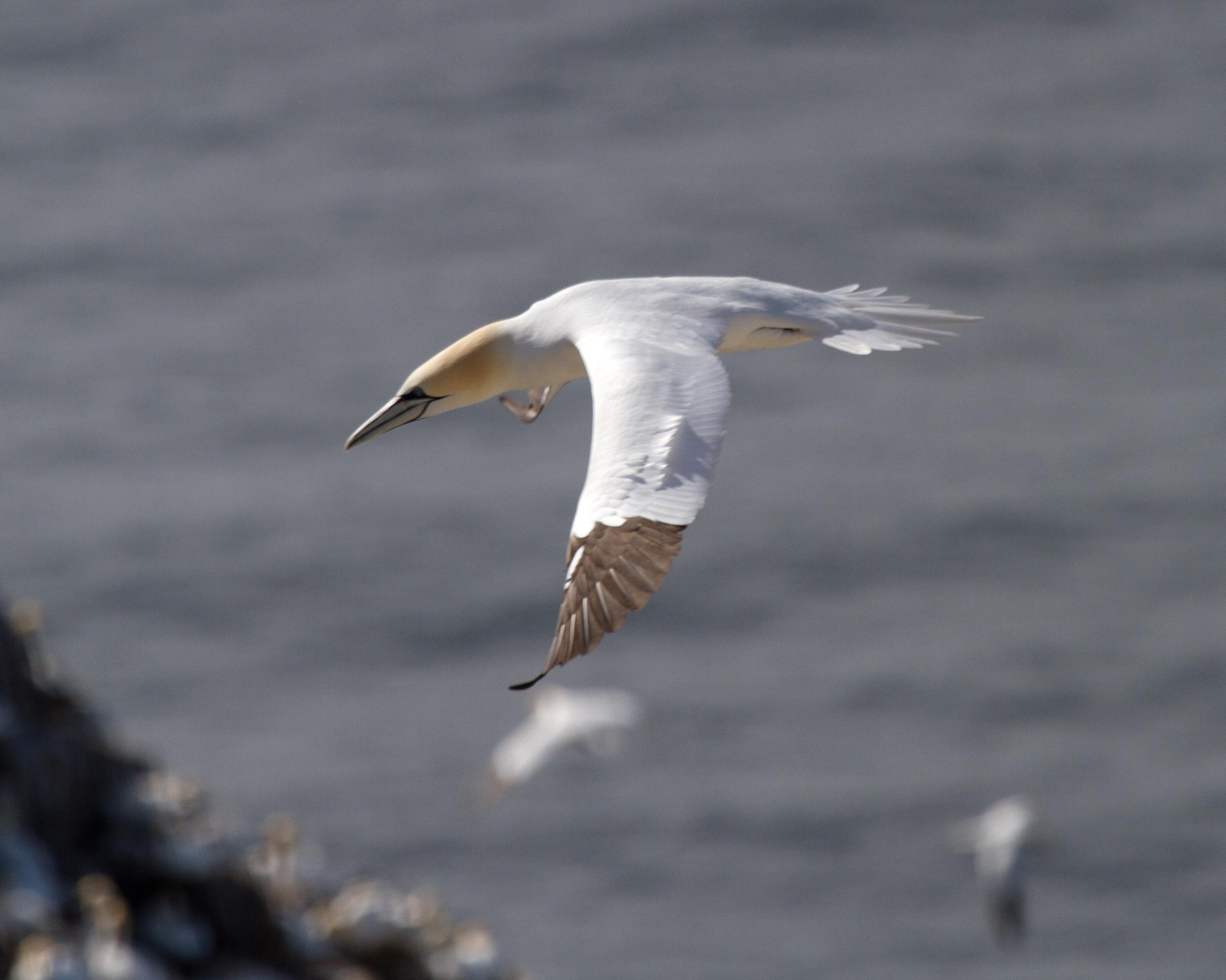 Gannet Flying, Animal, Plumage, Mating, Morus, HQ Photo