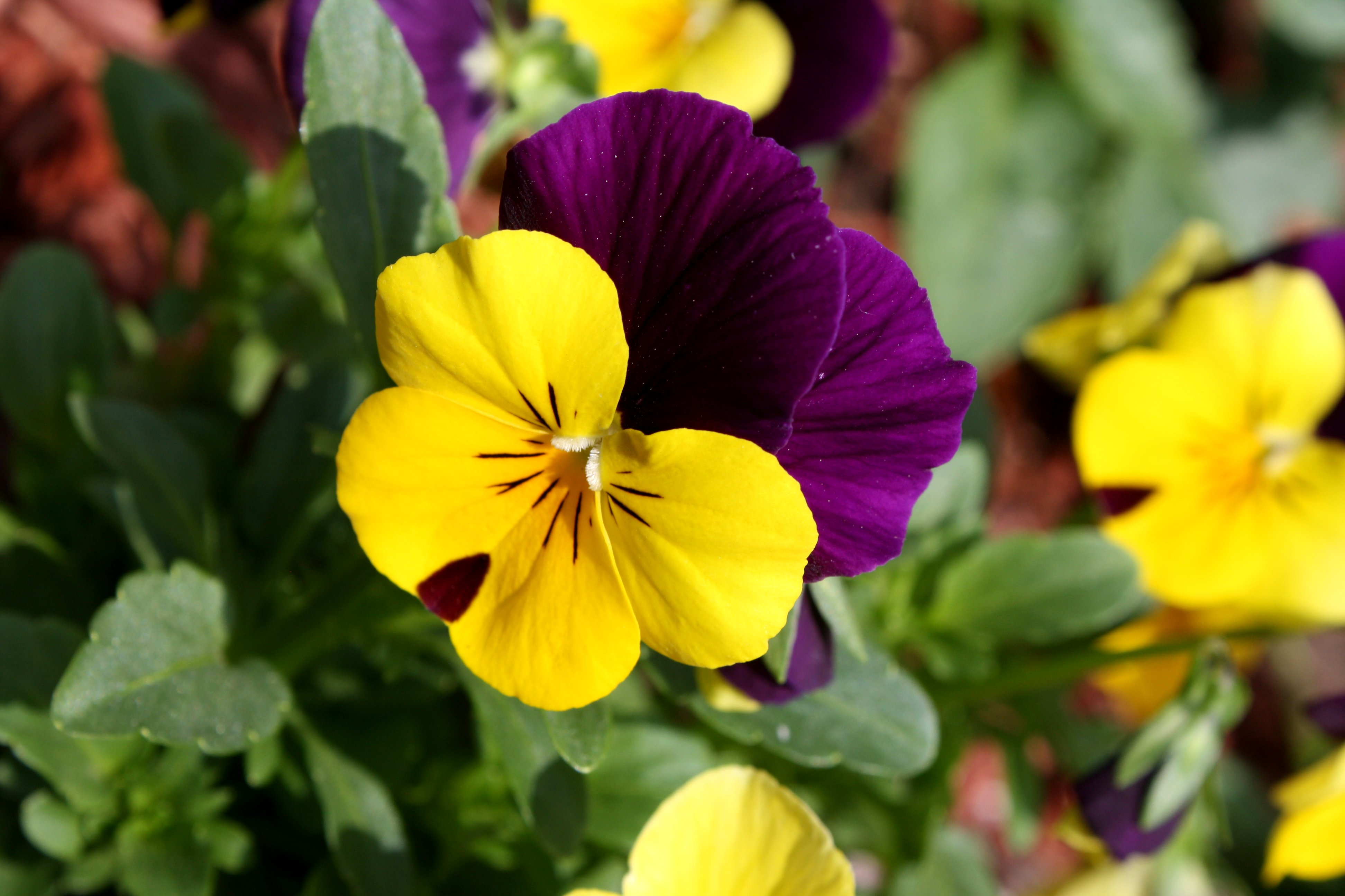 File:Viola tricolor pansy flower close up.jpg - Wikimedia Commons