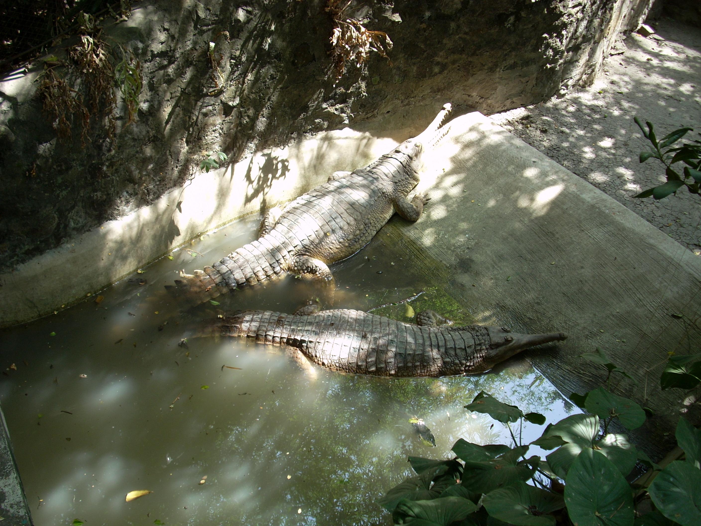 Gators at surabaya zoo photo