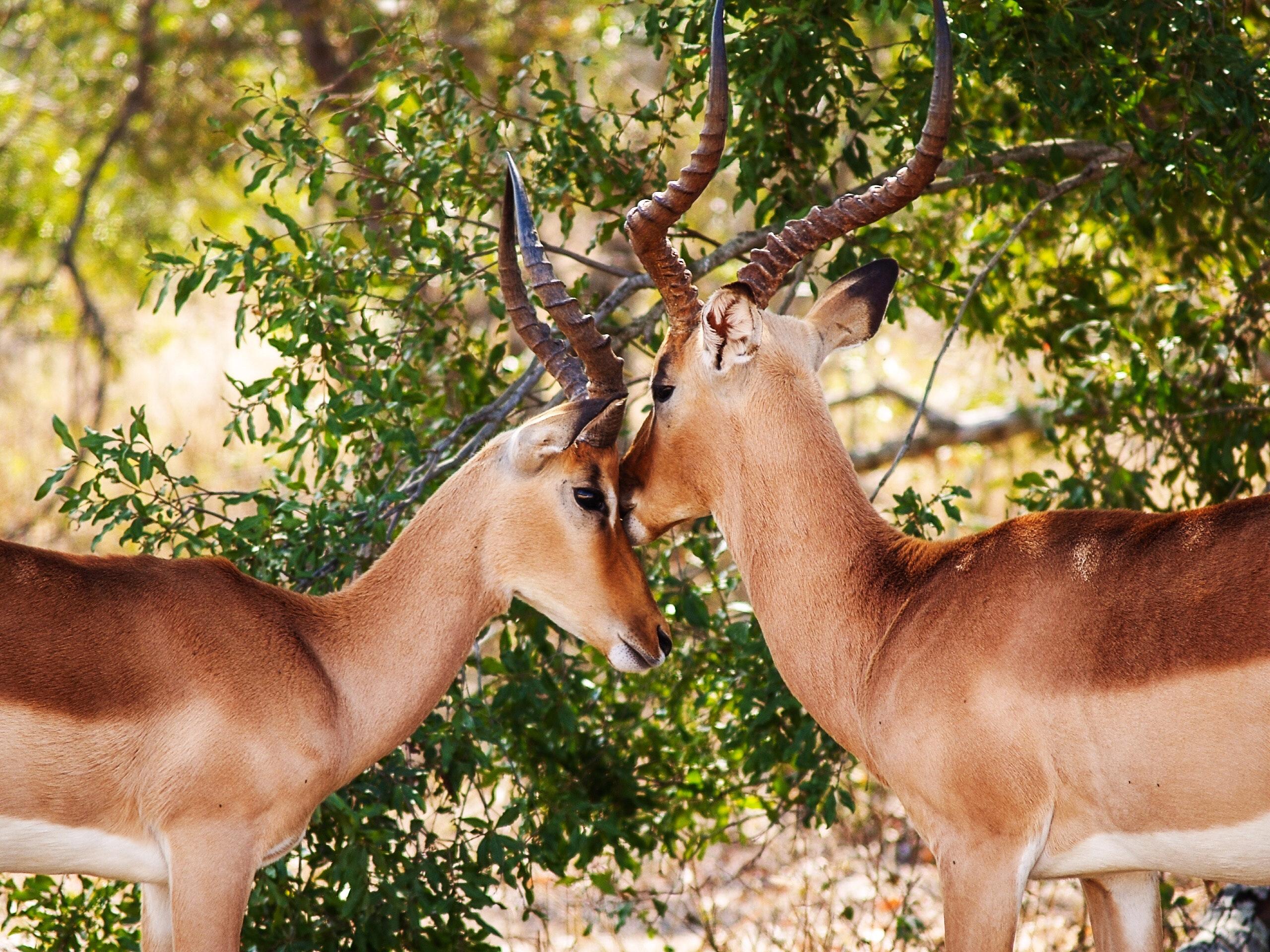 Gazelles, reindeer