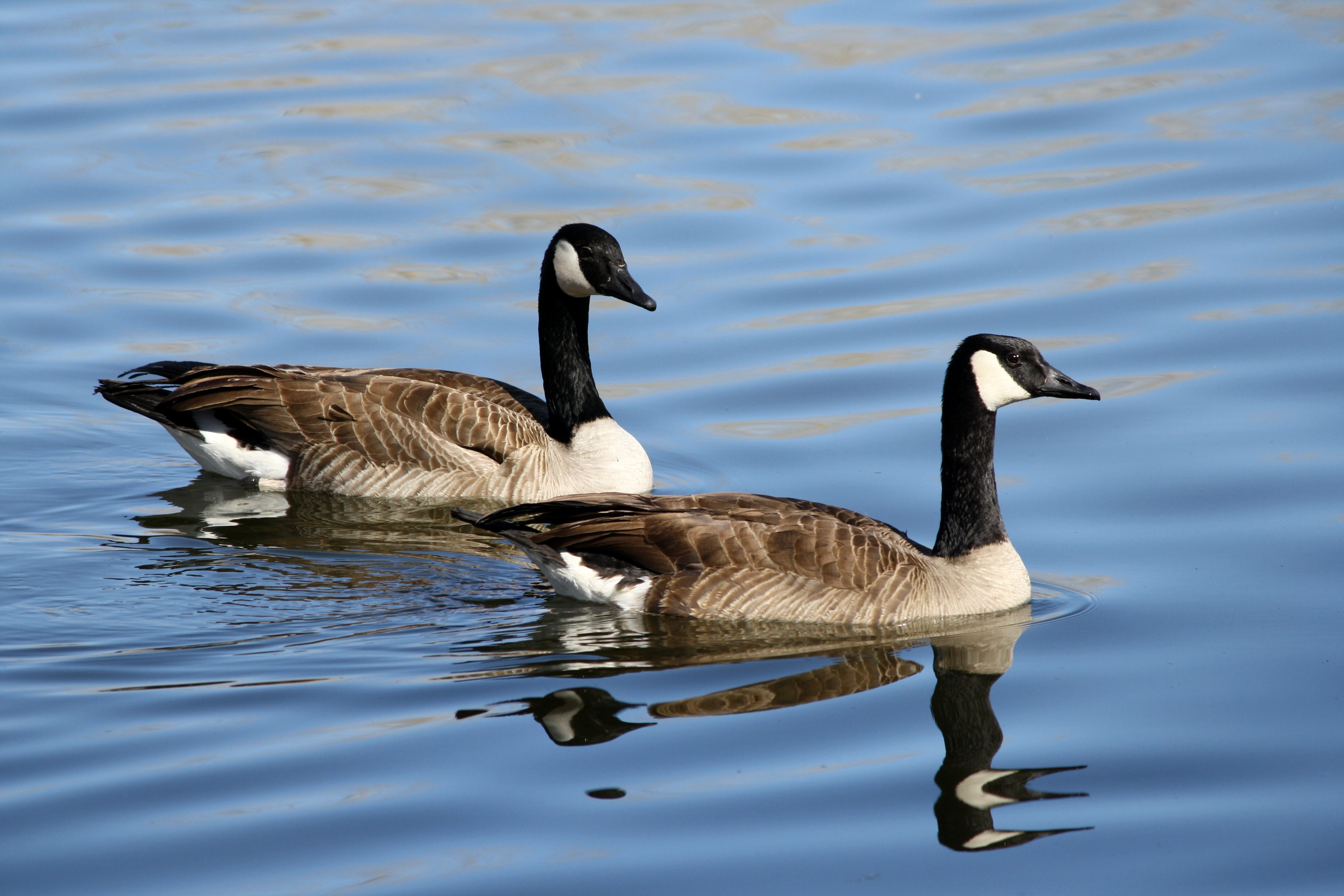 Citizens defend Cosby Lake geese to Clay Council – The Trussville ...