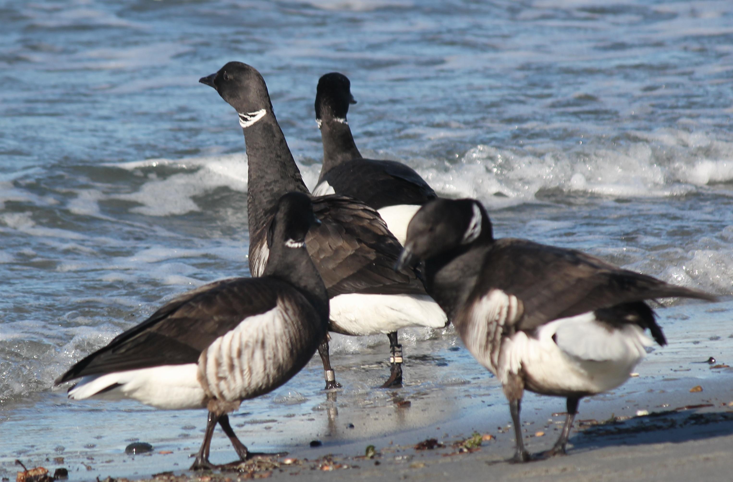 Scene in Edmonds: Banded geese - My Edmonds News