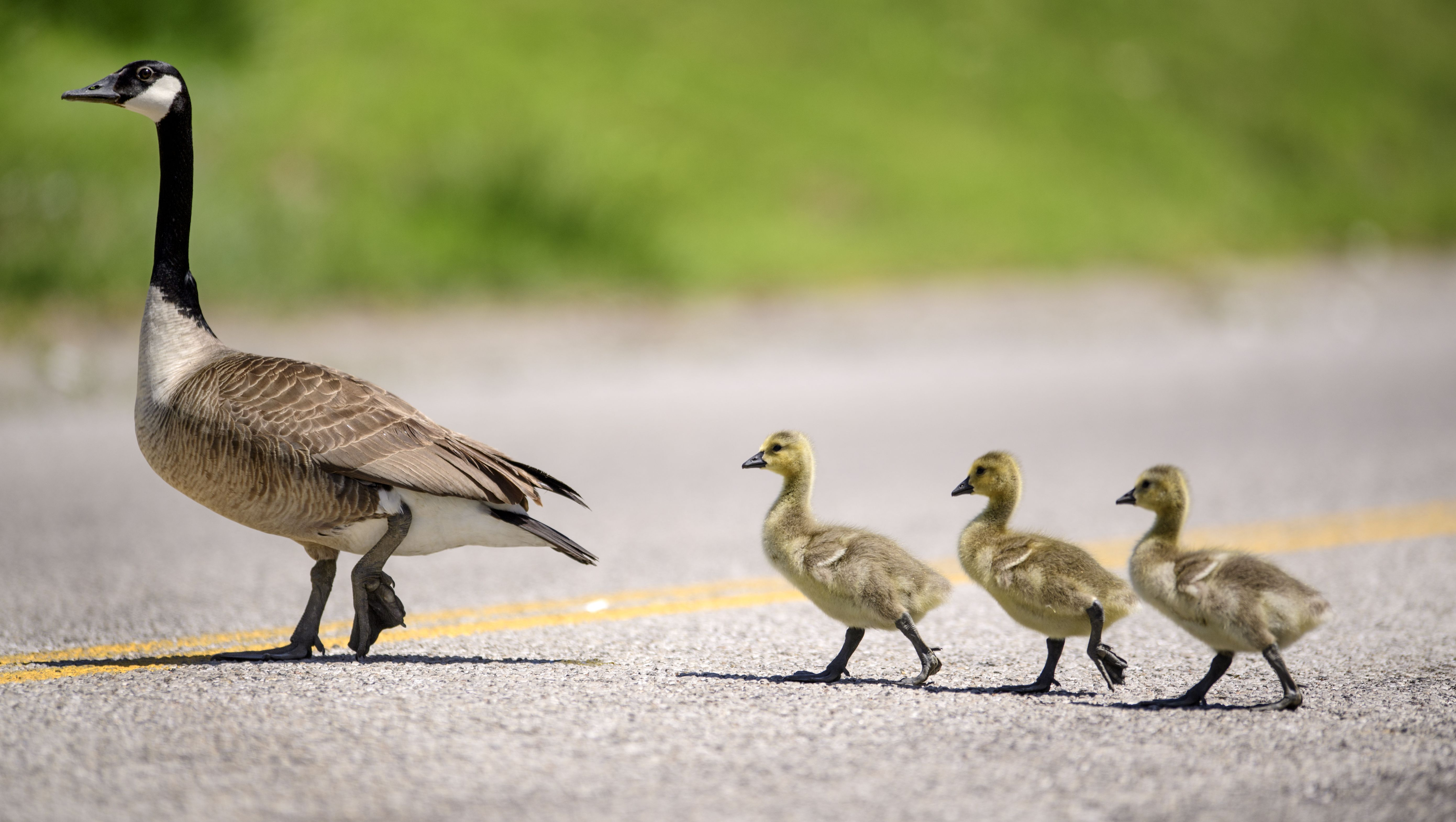 Police are looking for driver who ran over a flock of geese on NJ ...