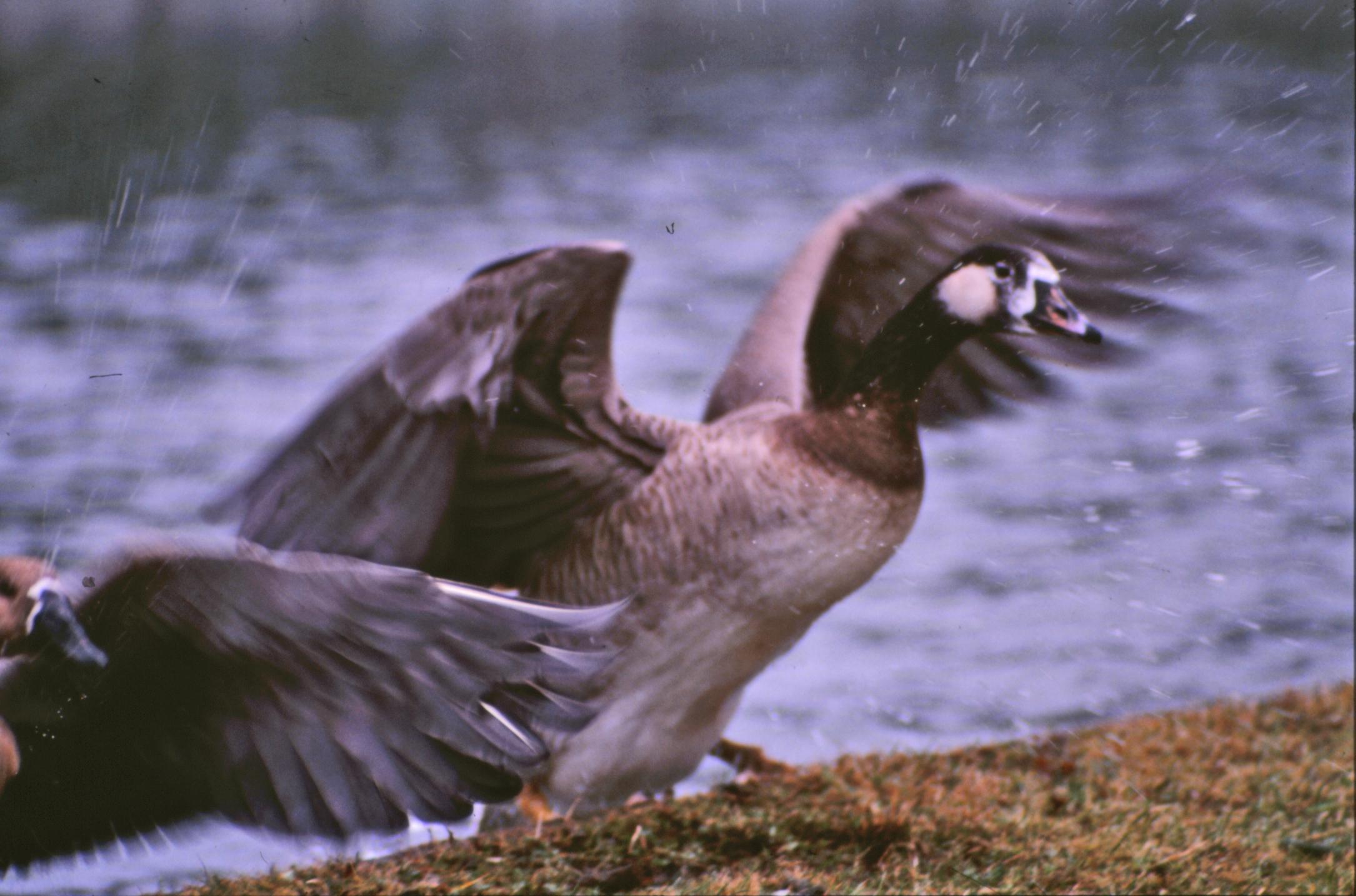 Geese, Animal, Bird, Goose, Wings, HQ Photo