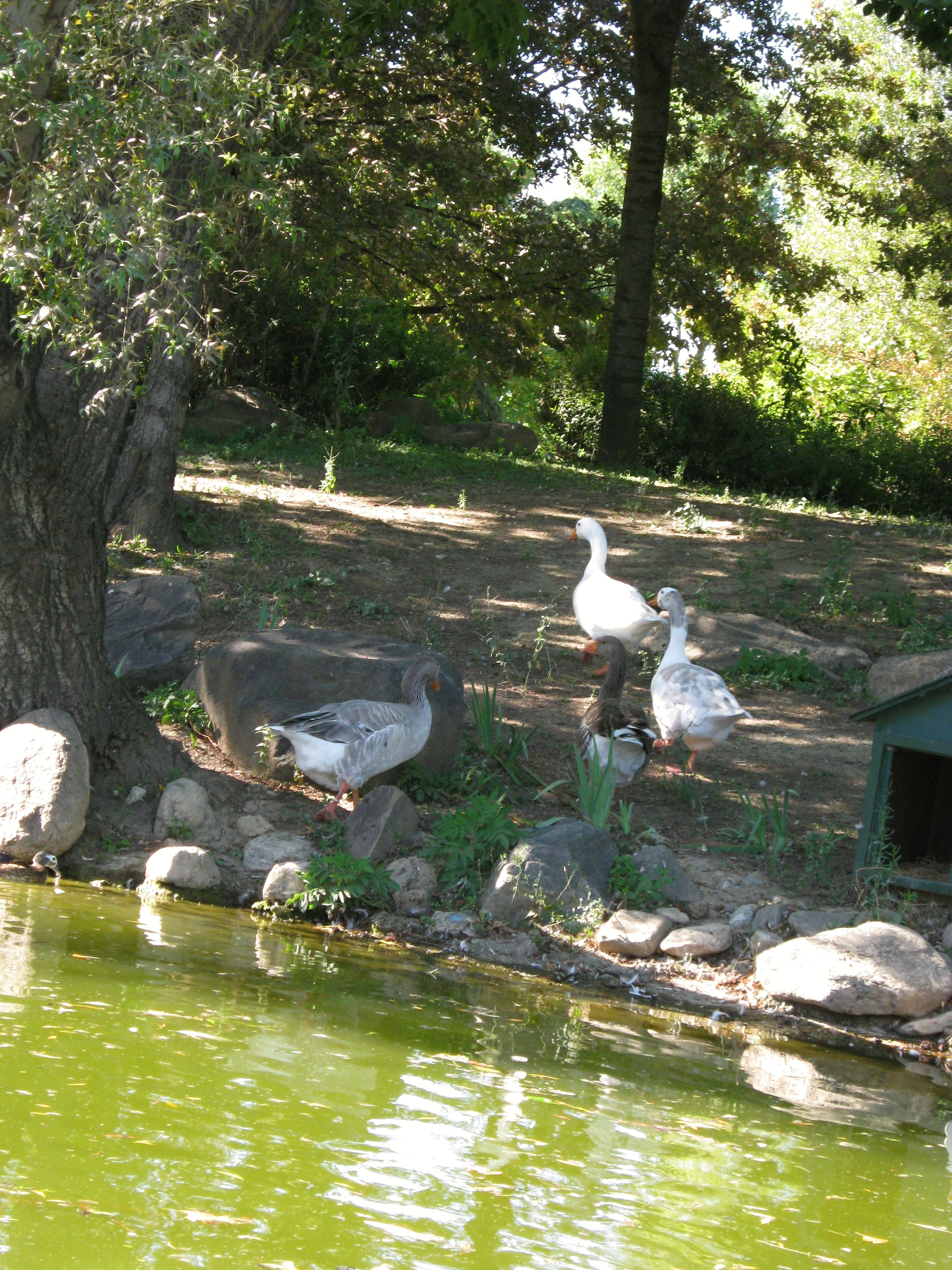 Geese, Animals, Green, Trees, Tree, HQ Photo