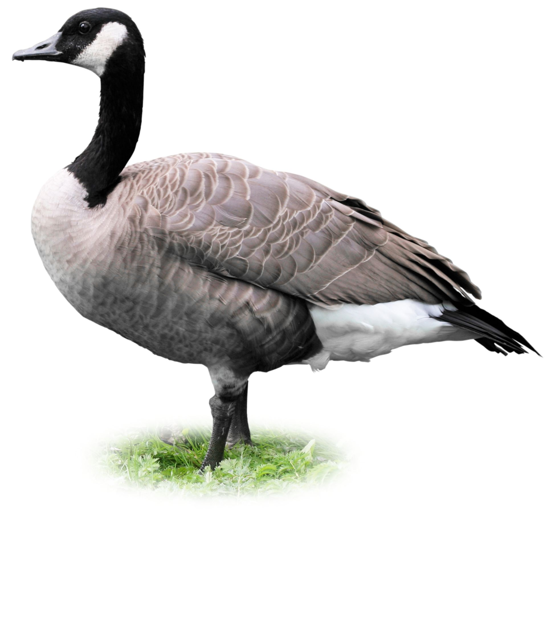 Geese Facts | What Do Geese Eat | DK Find Out