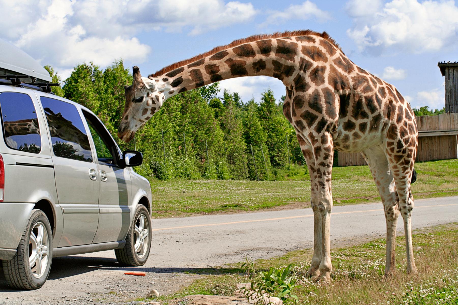 Gentle Giraffe, Animal, Maroon, Outdoor, Outdoors, HQ Photo