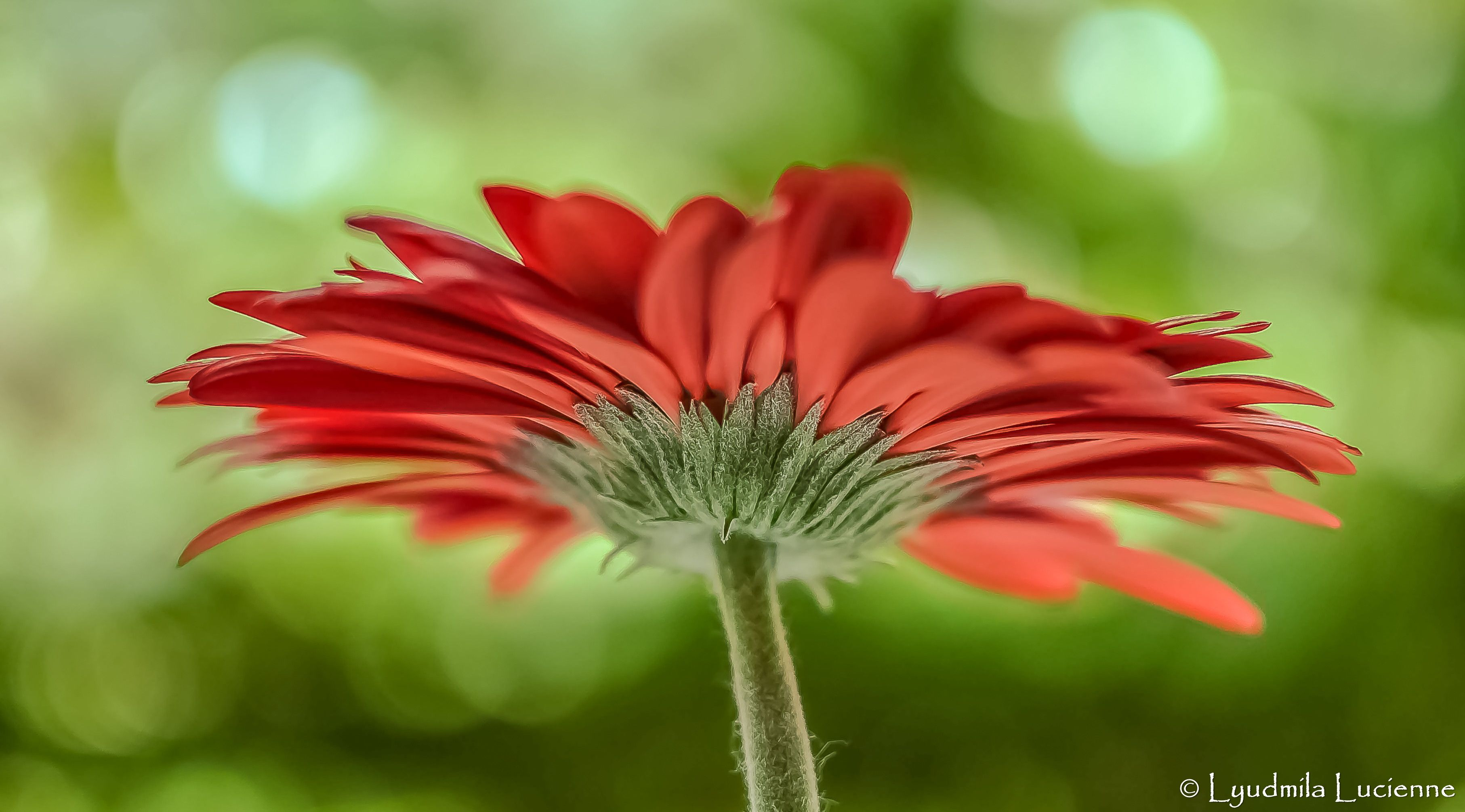 Torch. Факел. #originalcontent #Gerbera #flower #petal #red #stalk ...