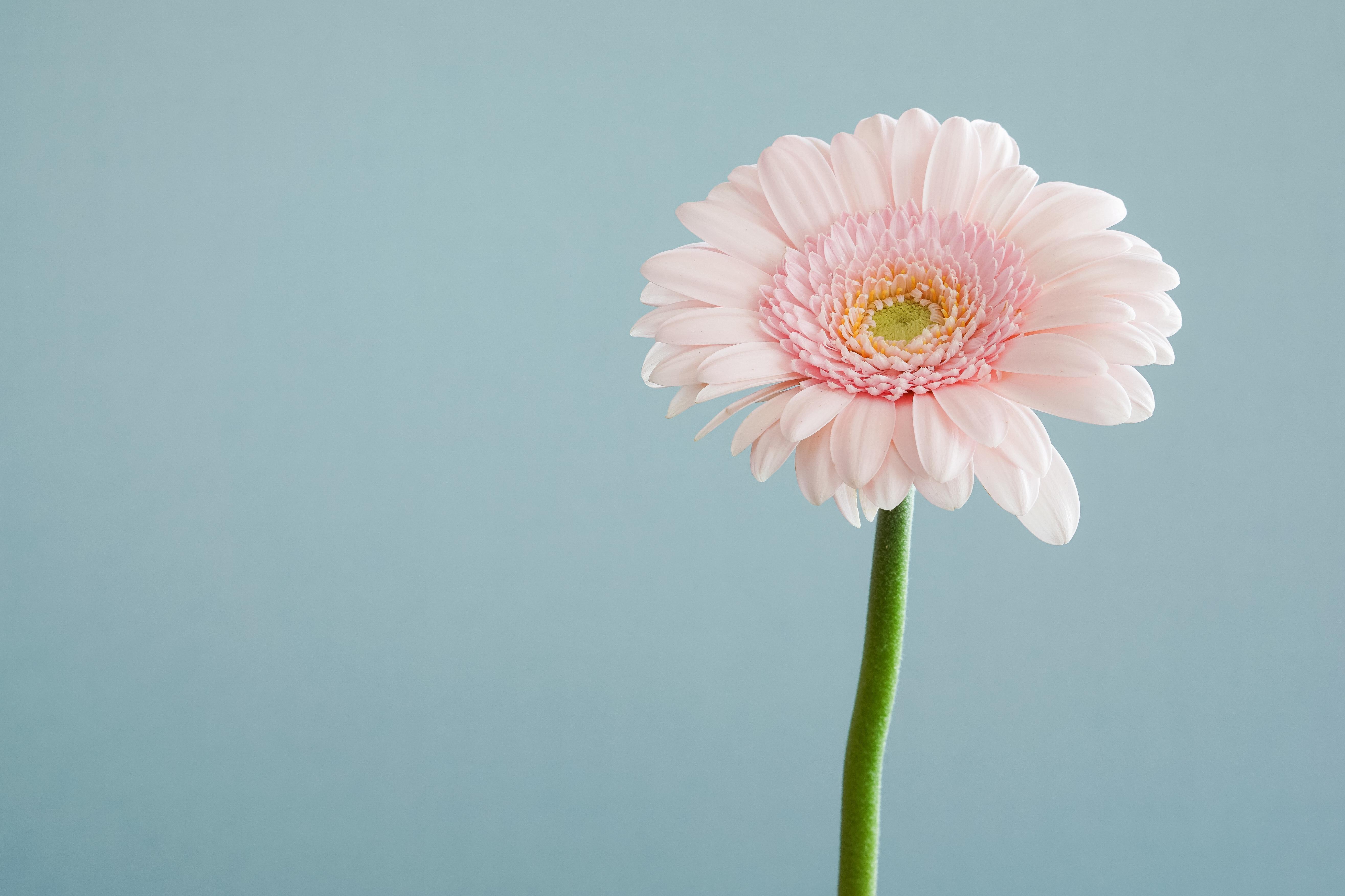 Free Images : flower, petal, pink, flora, close up, gerbera, macro ...