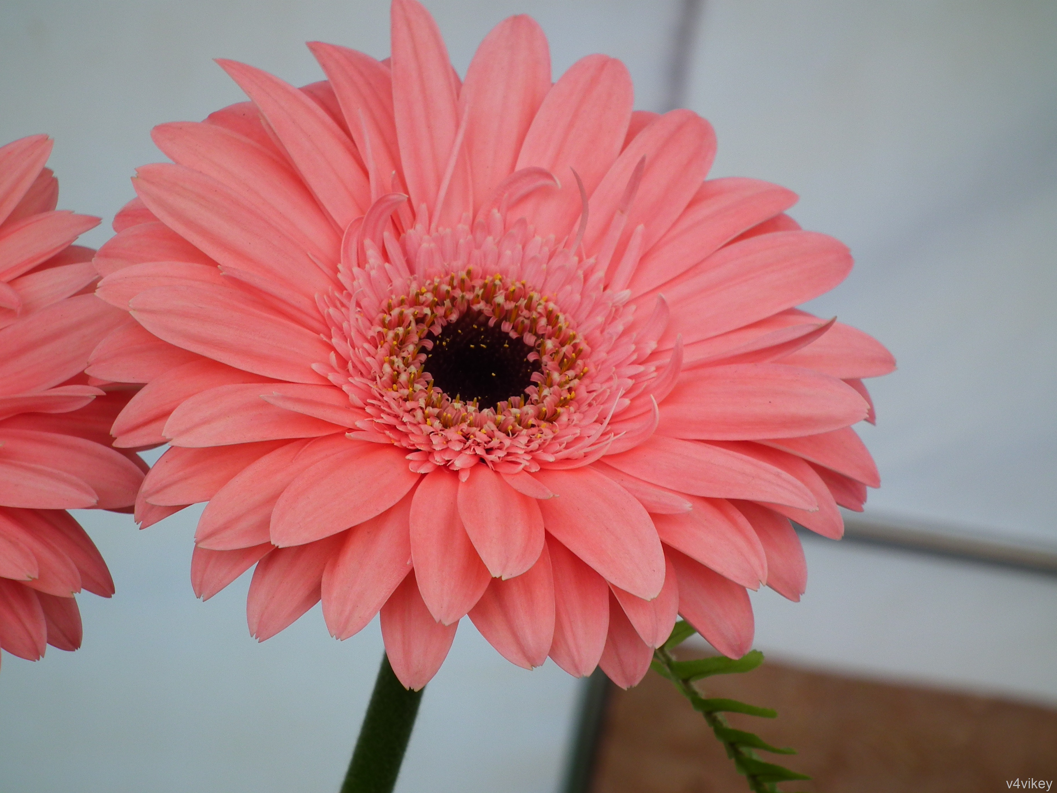 Daisy flower colors « Wallpaper Tadka