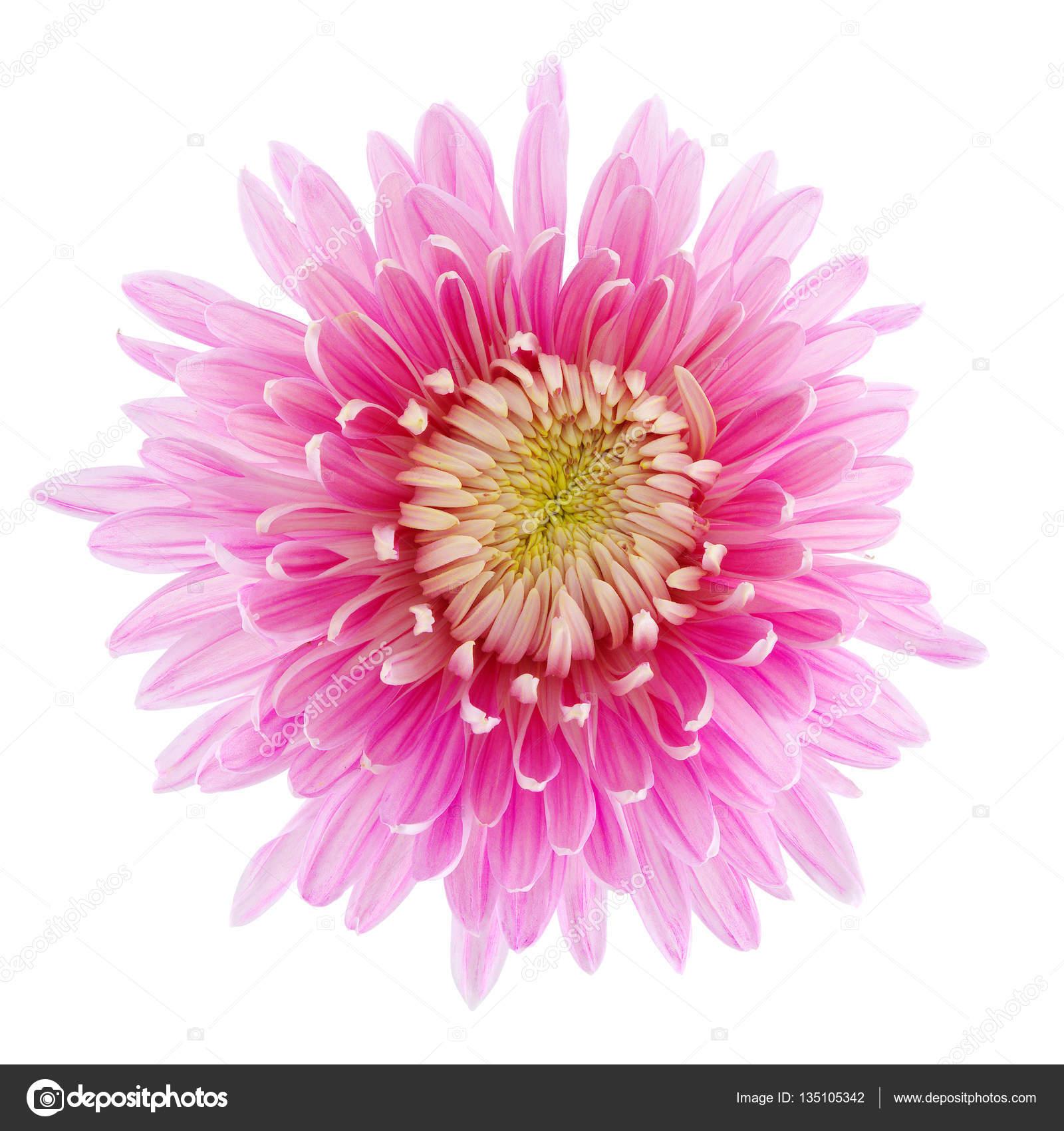 Gerber flower isolated — Stock Photo © fotfot #135105342