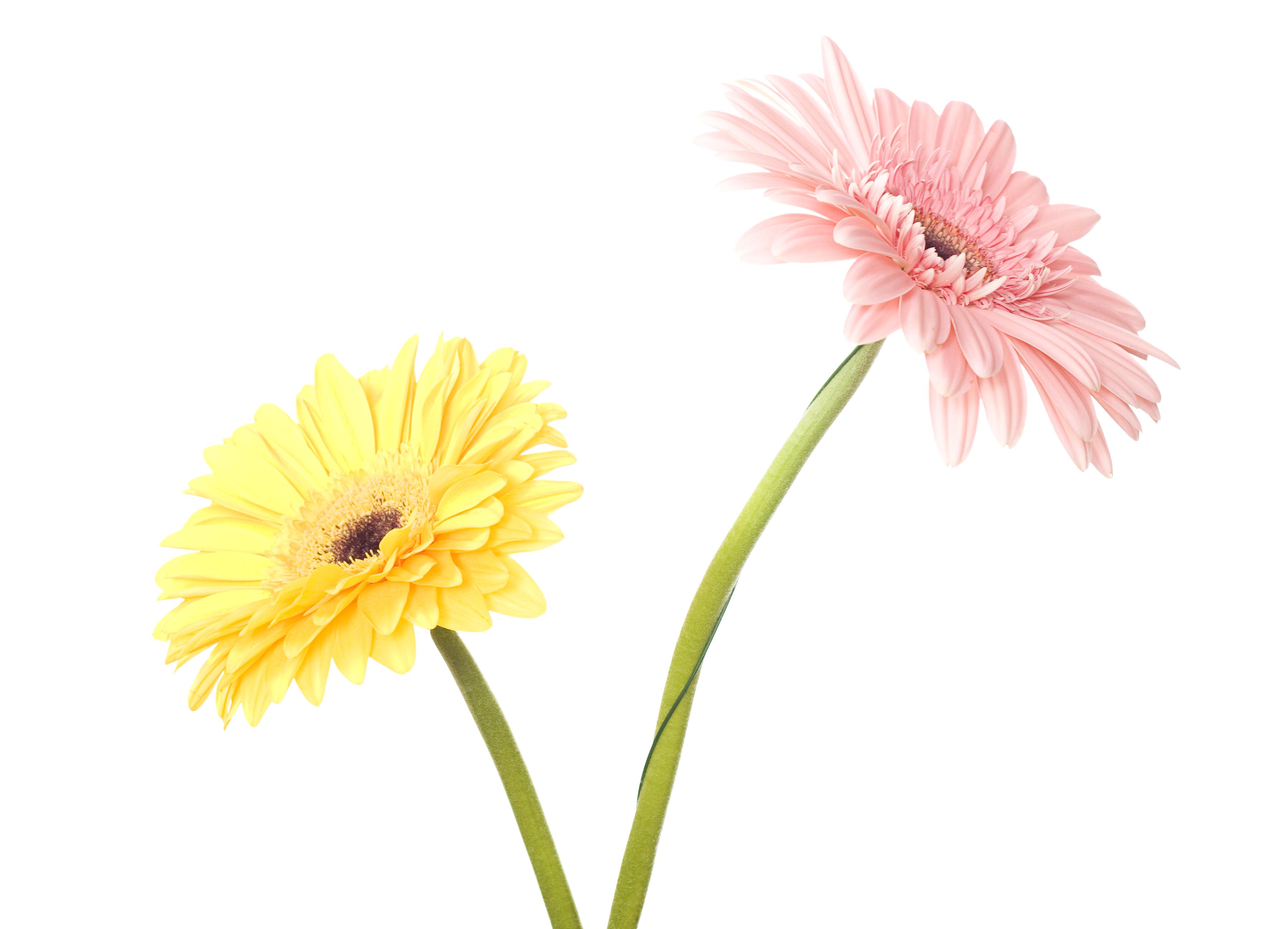 Gerbera, Closeup, Detail, Flora, Floral, HQ Photo