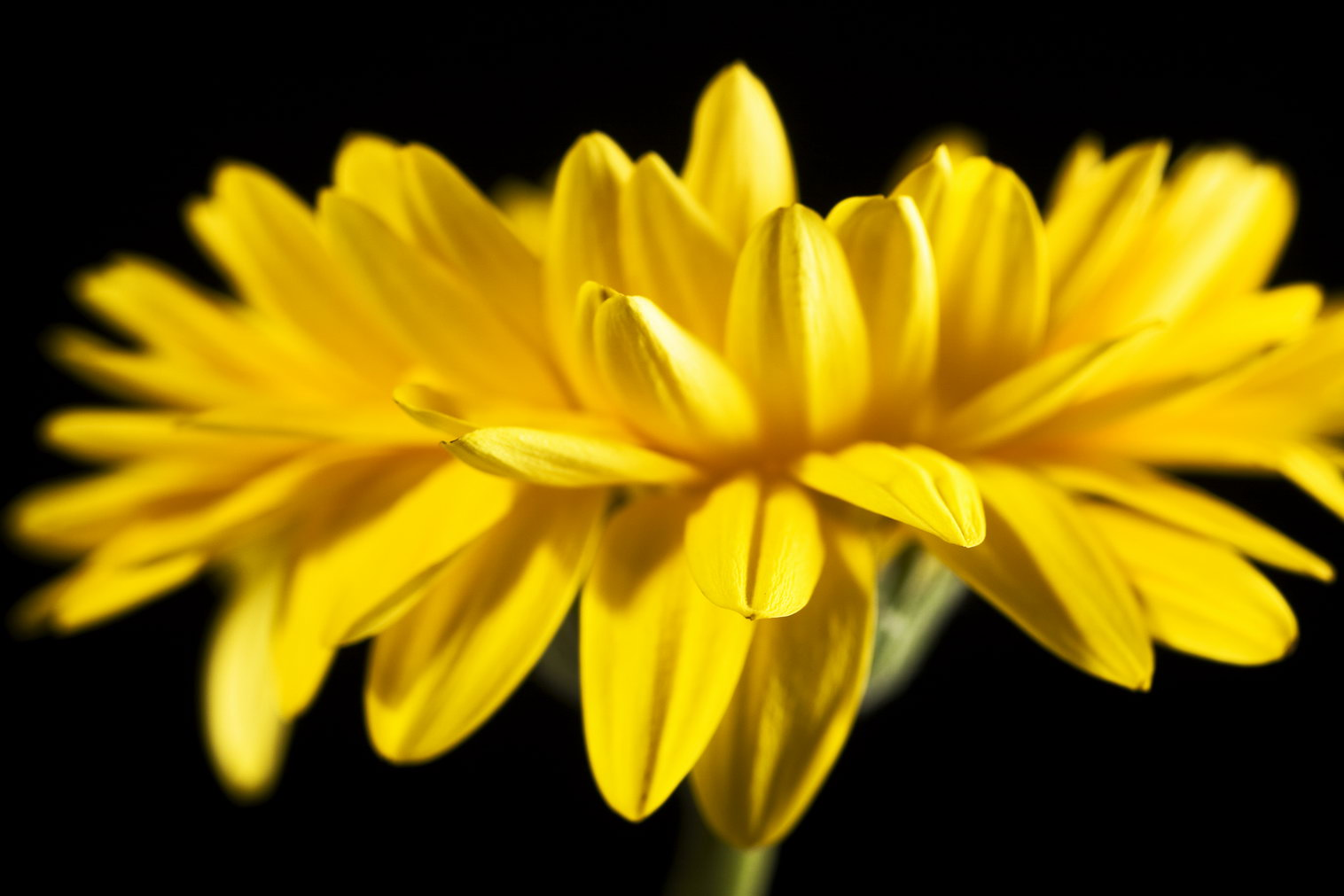 Gerbera, Beautiful, Black, Closeup, Flower, HQ Photo