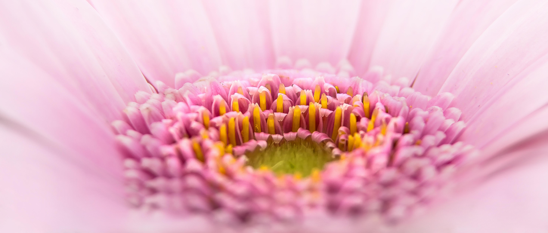 Gerbera flower Drops of dew Macro On a pink background |