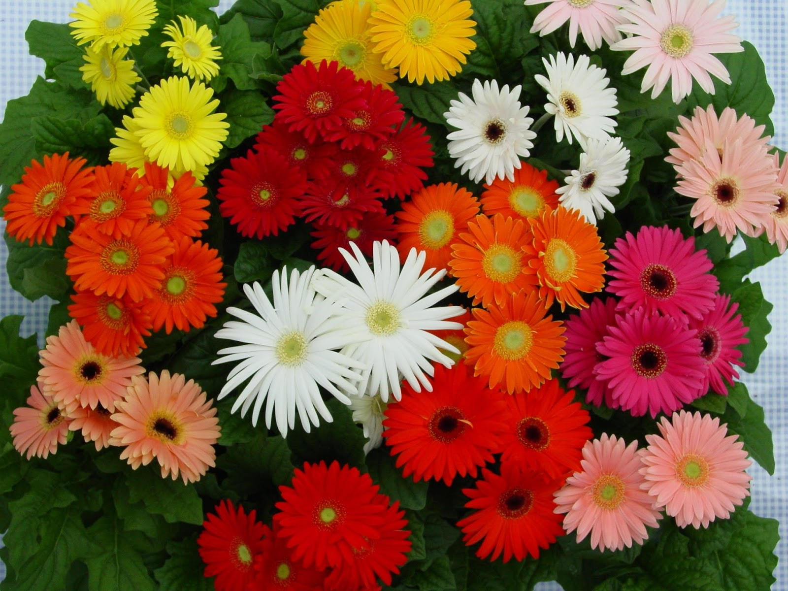 Romantic Flowers: Gerbera Daisy Flower