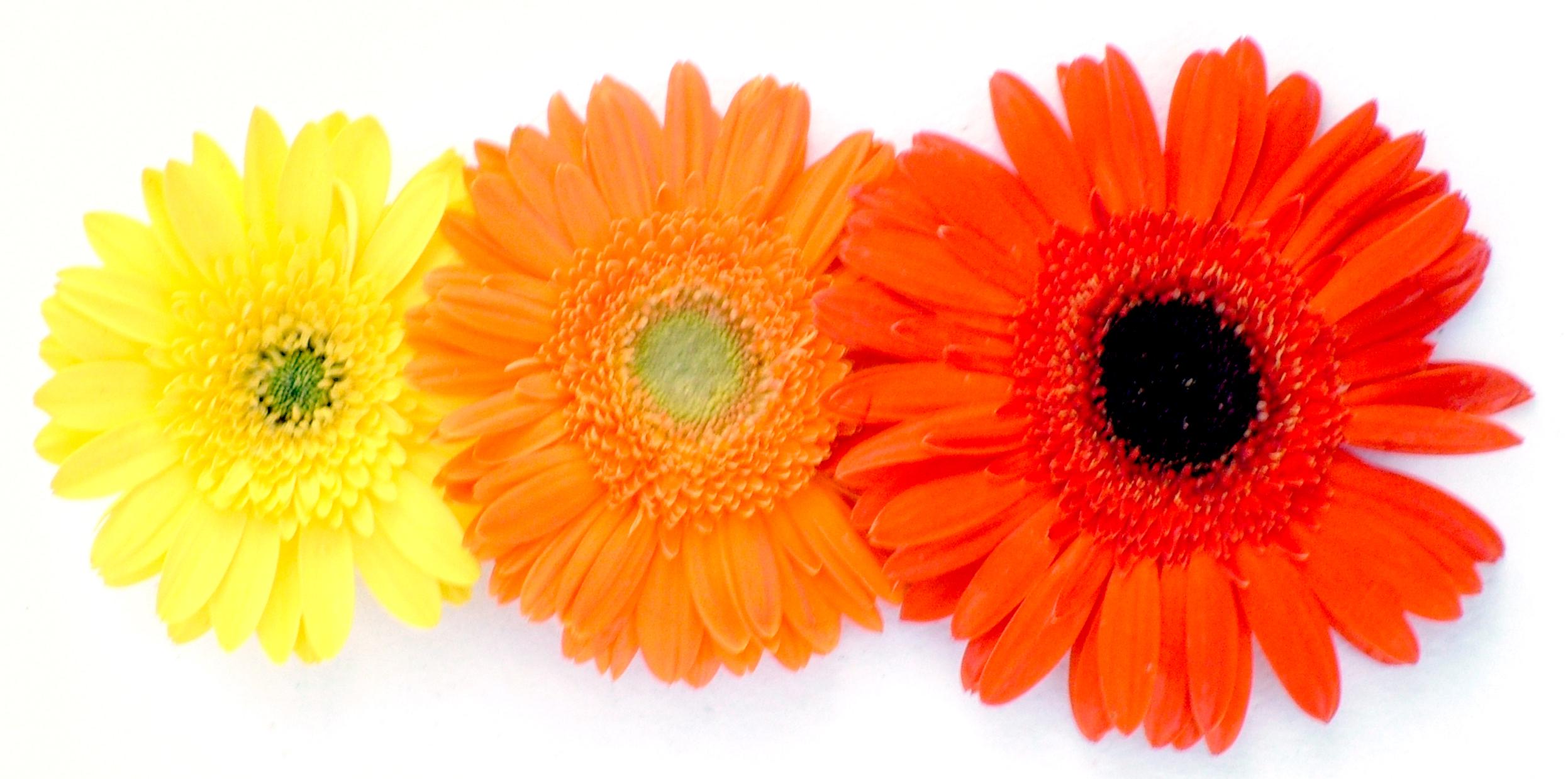 Gerbera flower photo