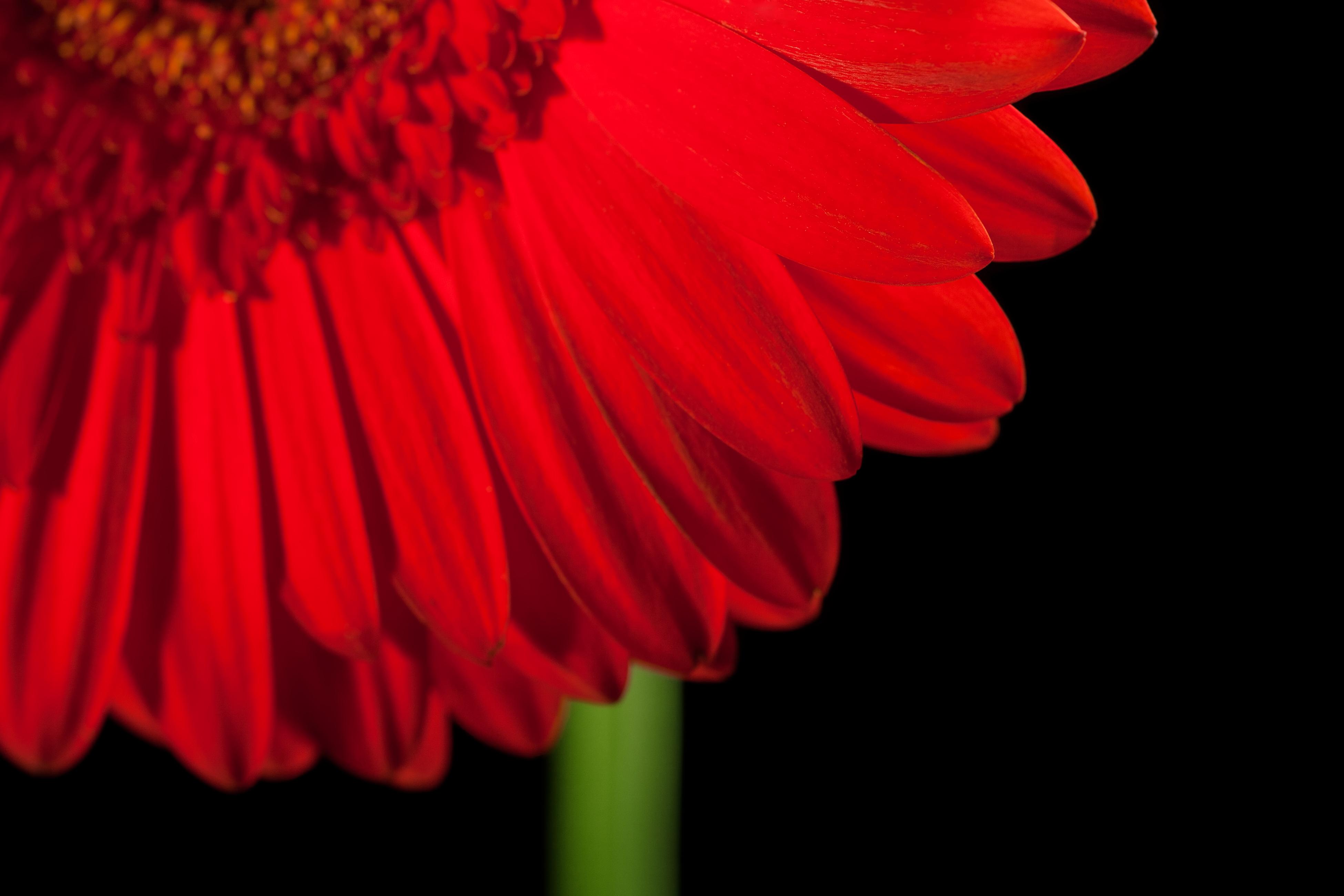 gerbera flower, Beautiful, Grow, Studio, Stem, HQ Photo