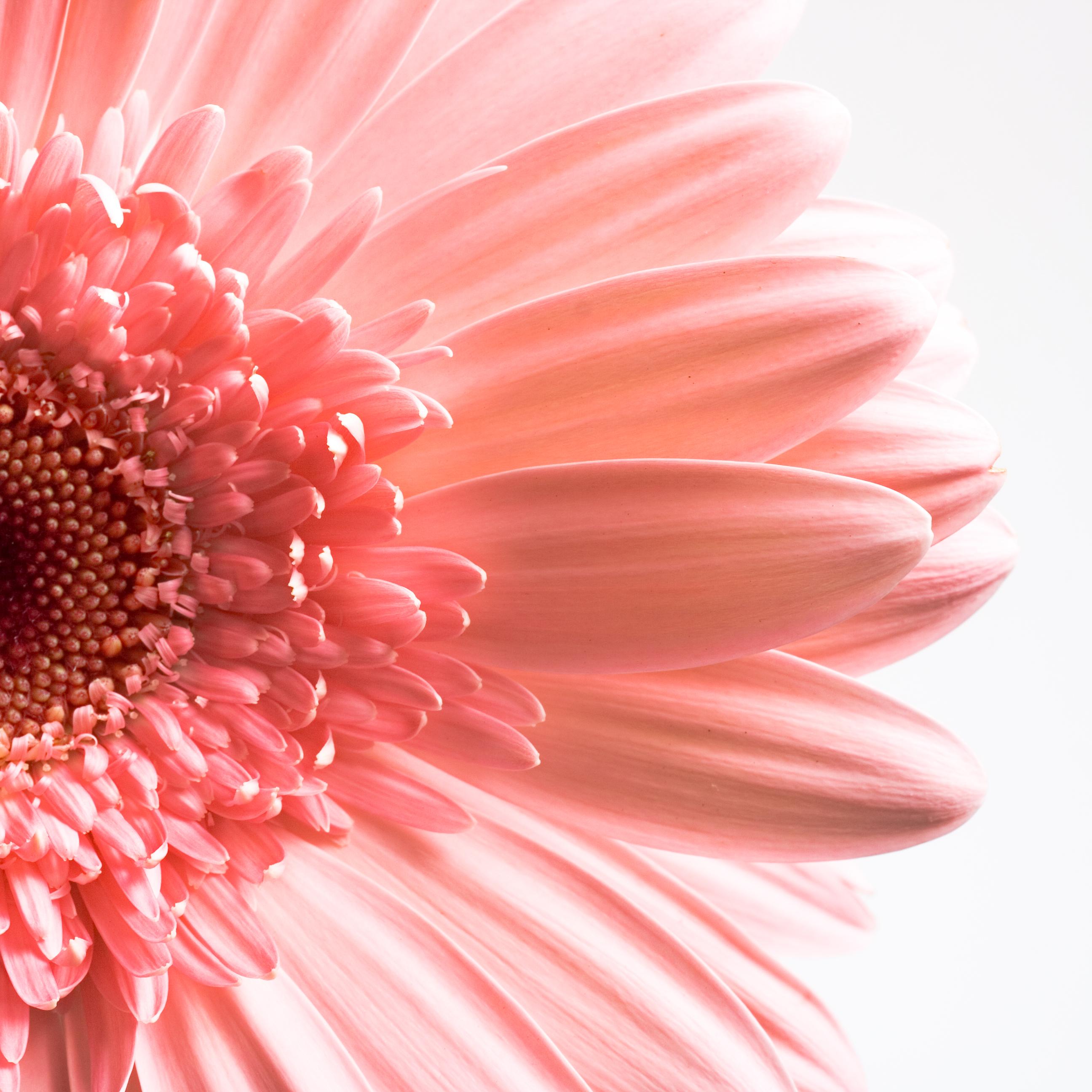 Gerbera Flower, One, Head, Isolated, Macro, HQ Photo