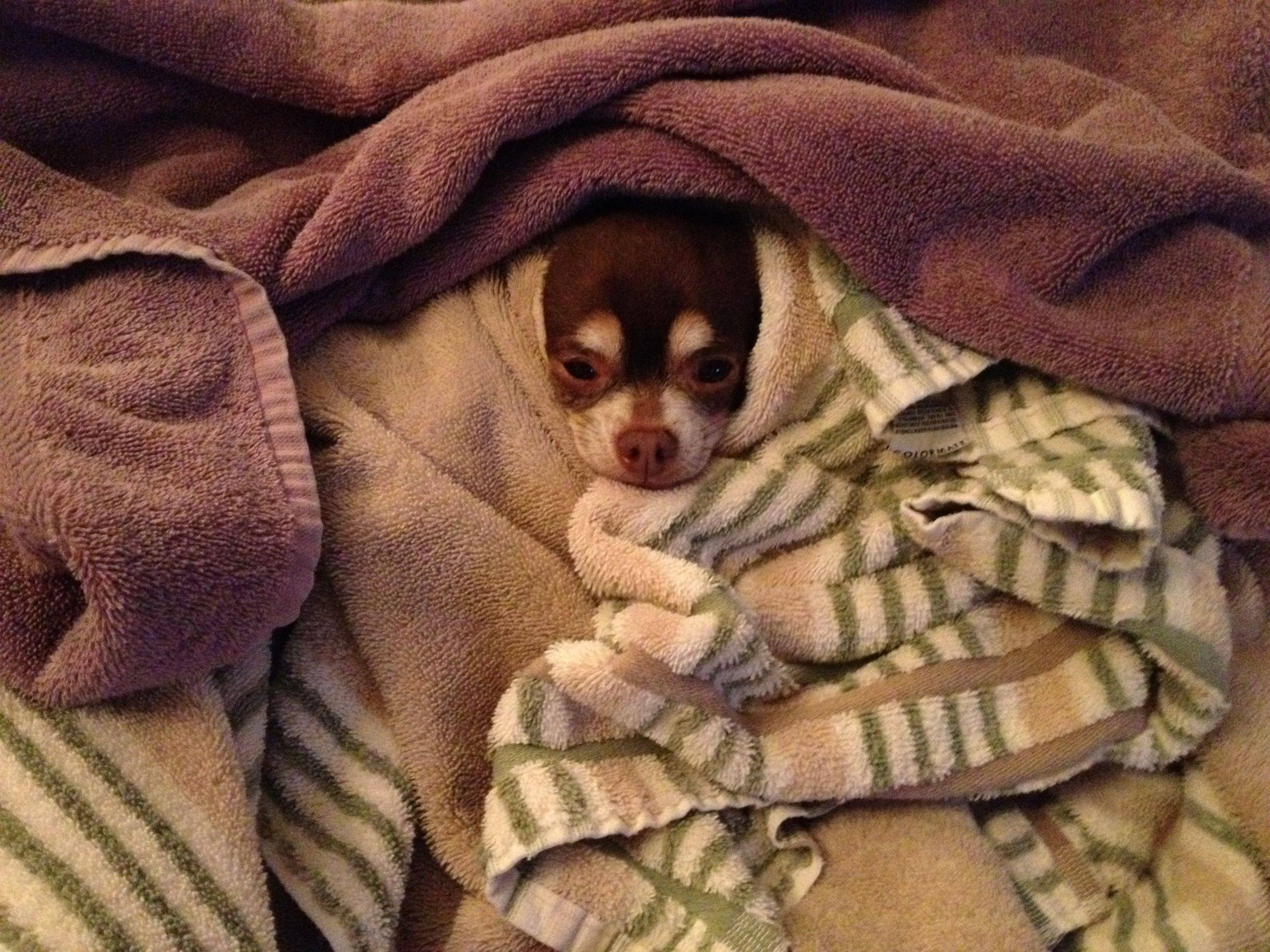 Pinto Bean is the type of chihuahua that will wait by the dryer in ...