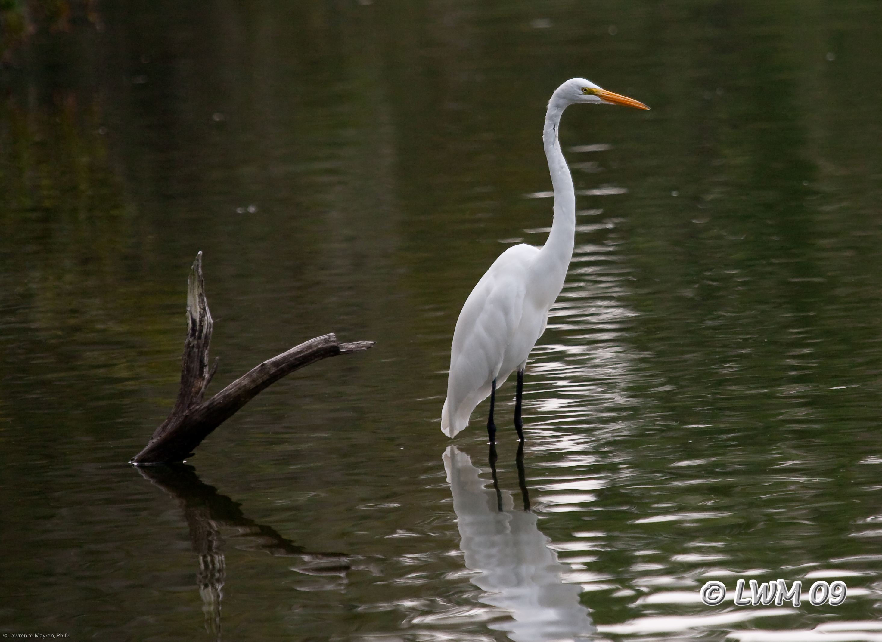 Giant Egret Armand Bayou | Butterfly And Wildlife Gardening And ...