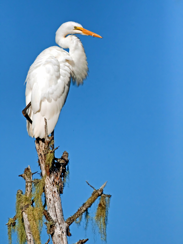 Giant Egret, Animal, Bird, Egret, Giant, HQ Photo