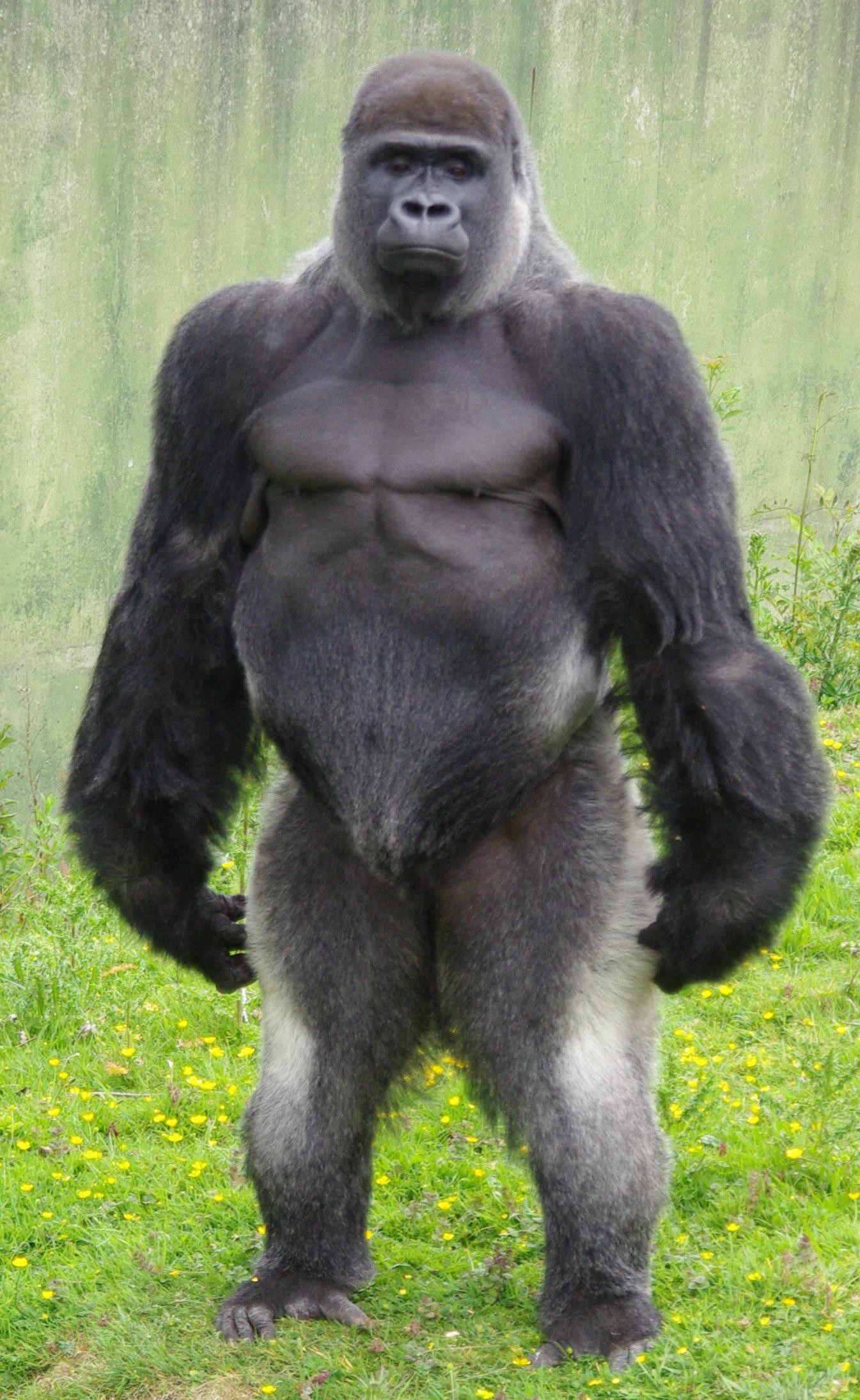Silverback gorilla photo