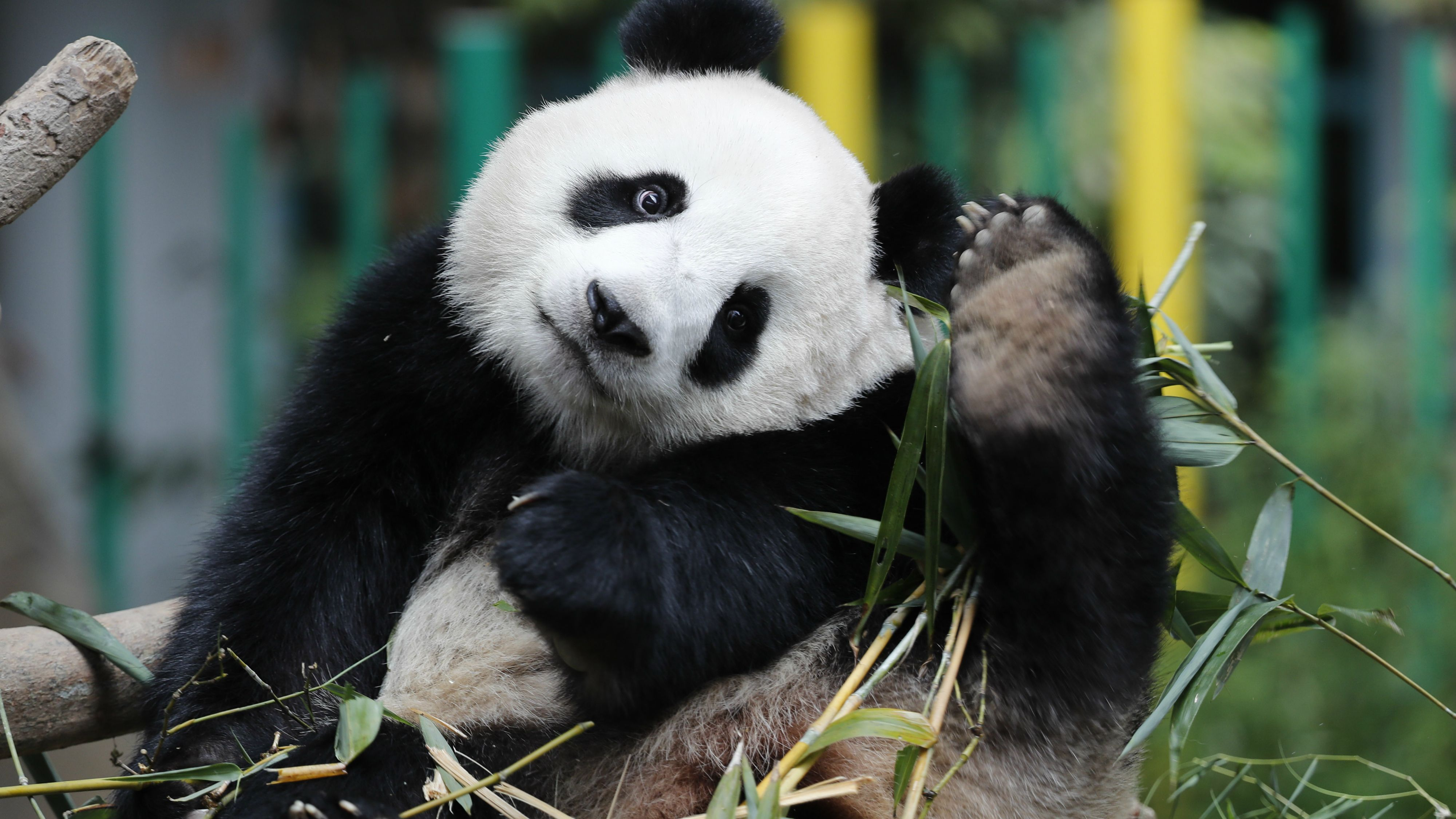In China, giant pandas are fleeing their habitats because of horses ...