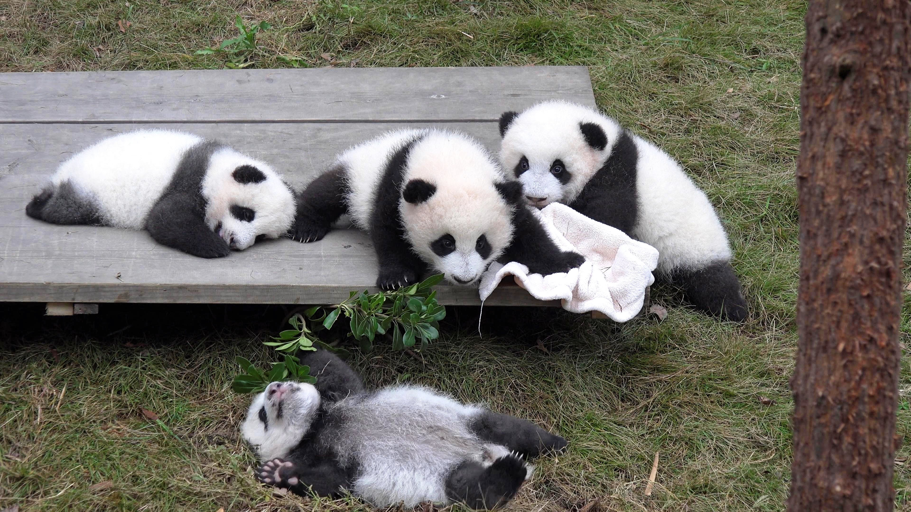 Giant Panda Breeding Center, Chengdu, China in 4K (Ultra HD) - YouTube