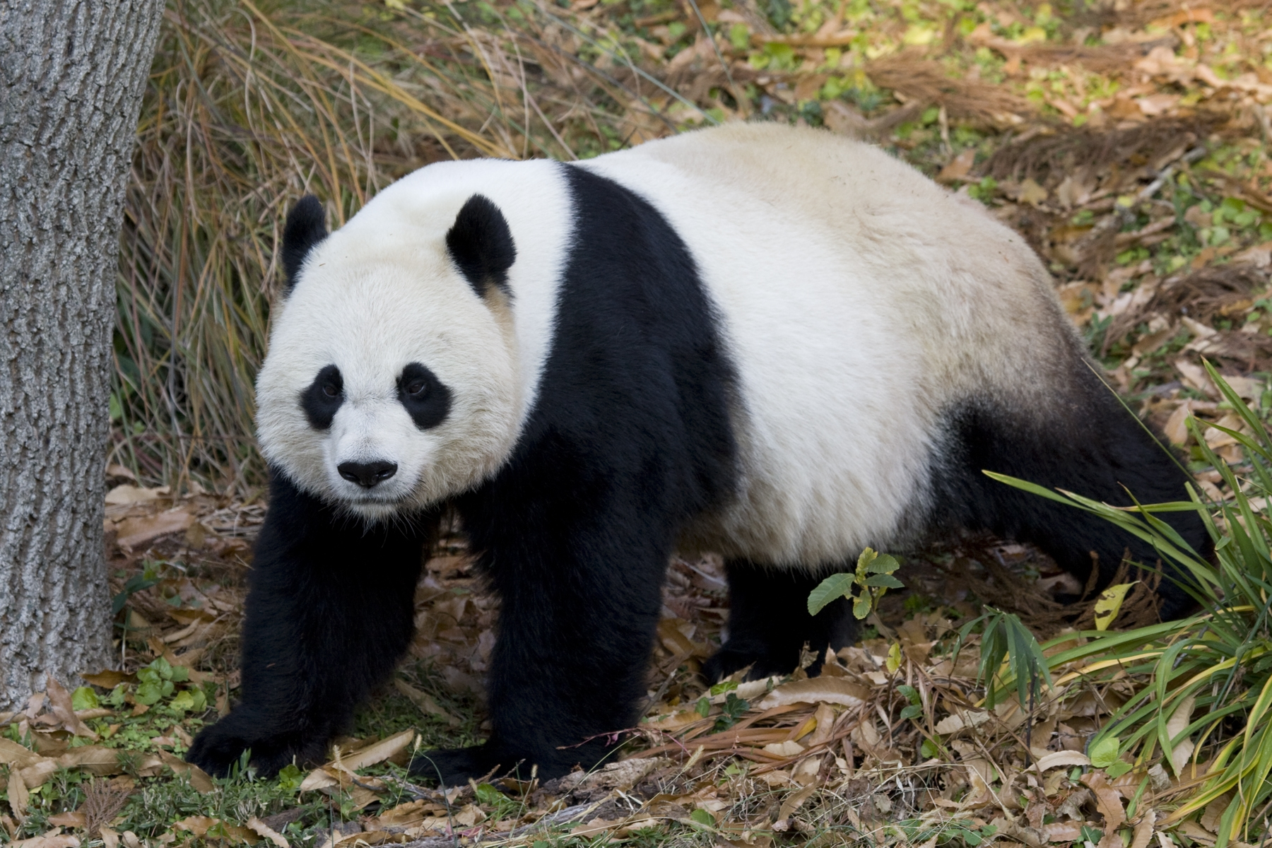Panda habitat to be lost, shifted by climate change | Smithsonian ...